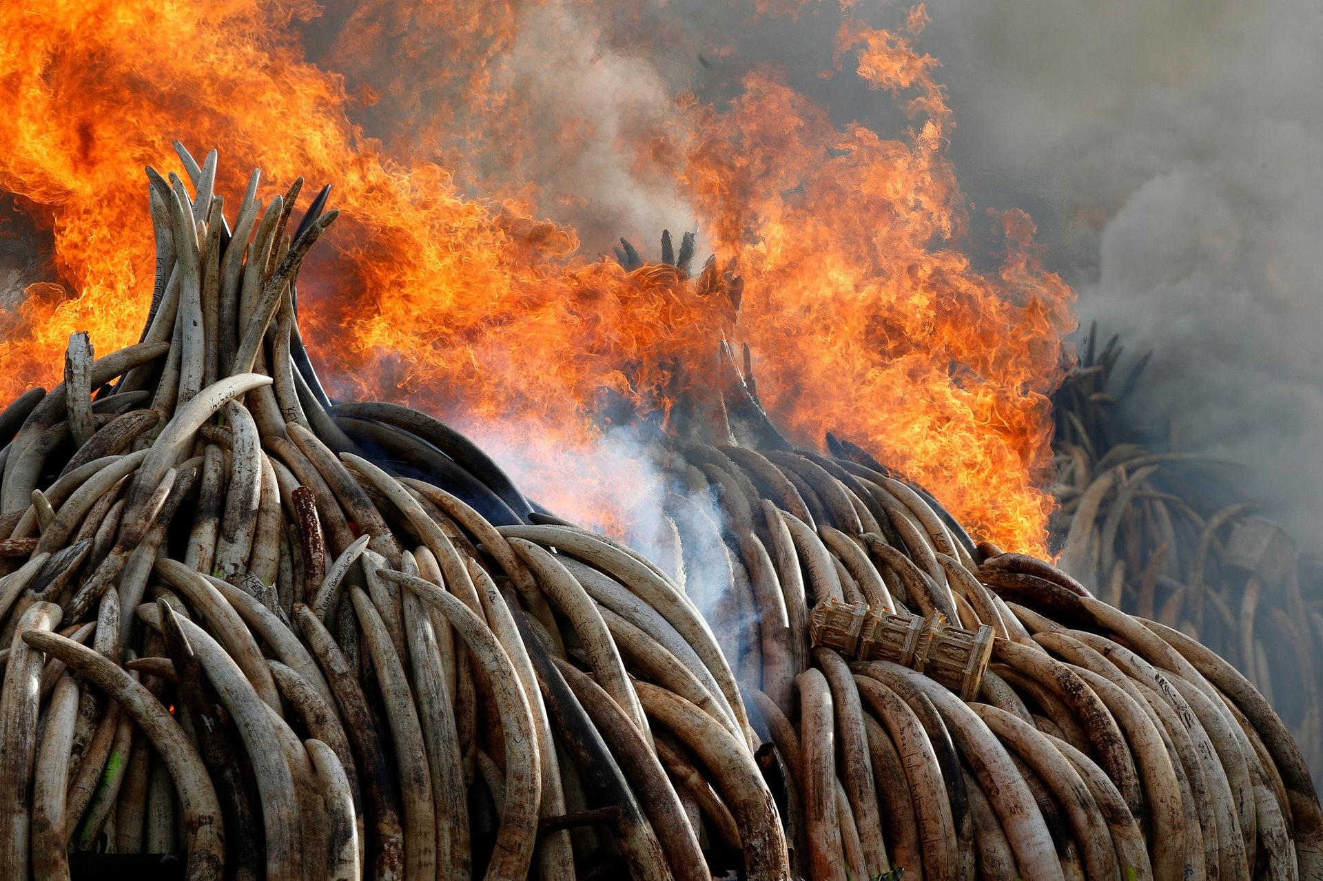 2016年4月30日,肯尼亞內羅畢國家公園銷毀105噸象牙和犀牛角,為歷來最大規模銷毀象牙行動,是以往焚燒數量的7倍。據統計,平均每年有3萬頭非洲大象因象牙而被獵殺。(視覺中國)