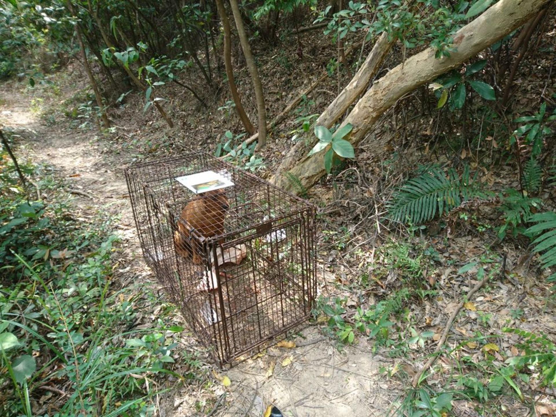 該隻再度懷孕的母狗,已交由毛孩守護者人員。(讀者提供圖片)