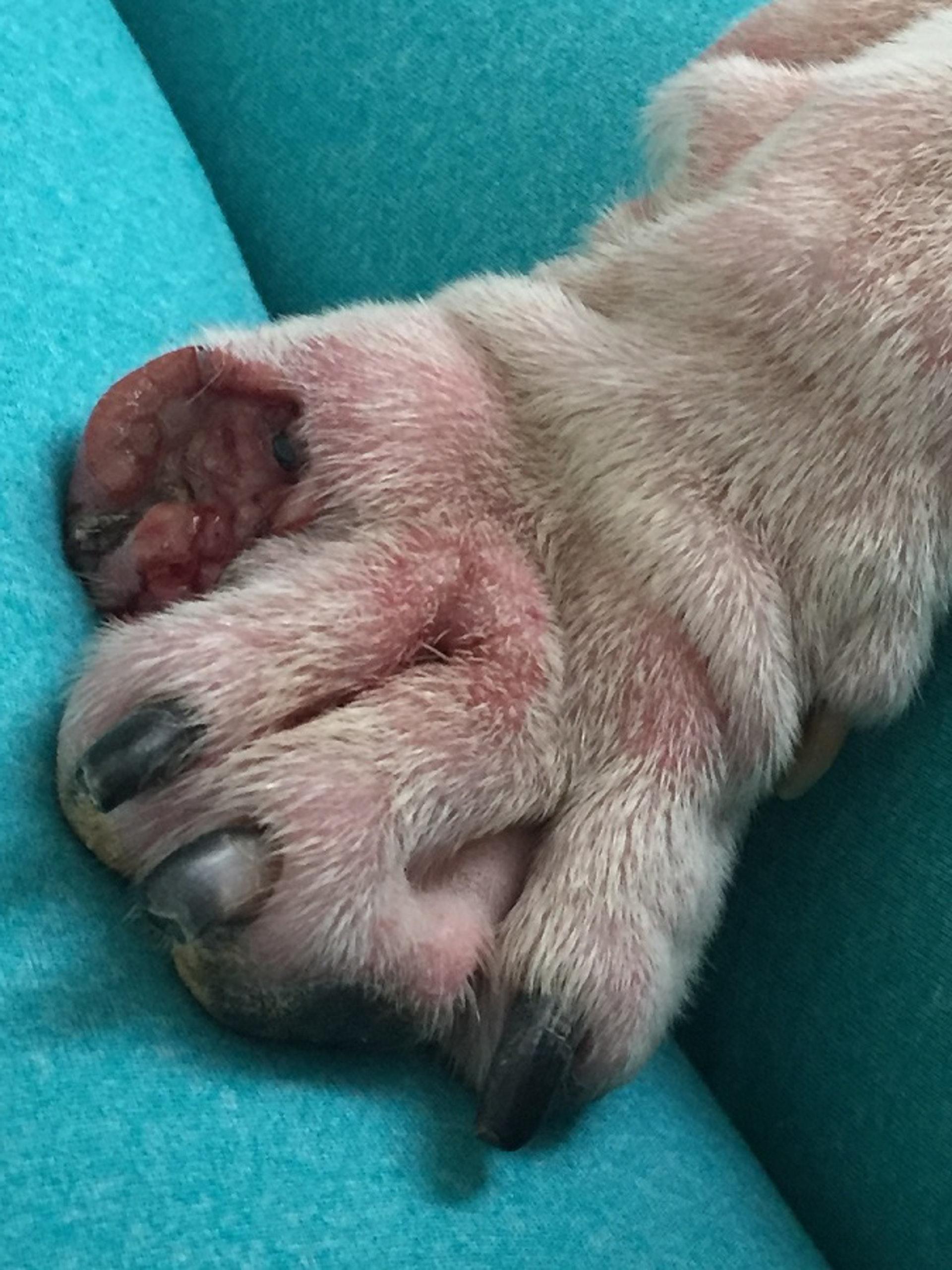Jayne相信愛犬的前趾是被強行扯斷。(受訪者提供圖片)