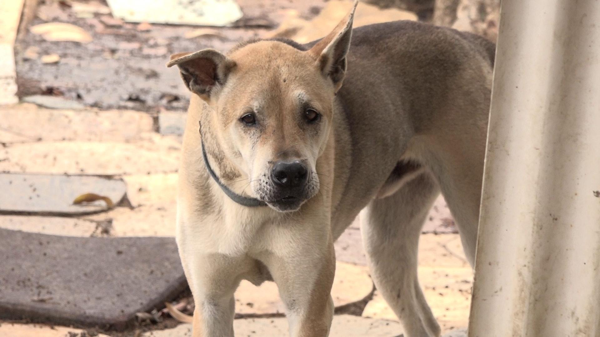 救狗之家有不少唐狗正待合資格人士領養。(鄧穎韜攝)