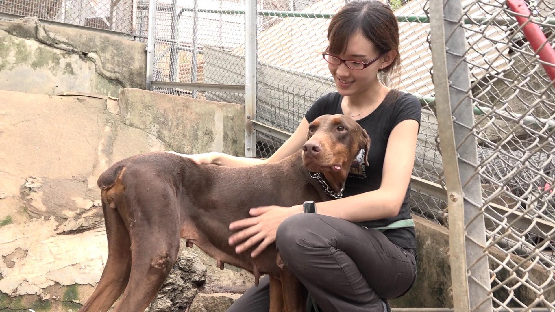 修例後救狗之家仍收到繁殖場的純種棄犬。(鄧穎韜攝)