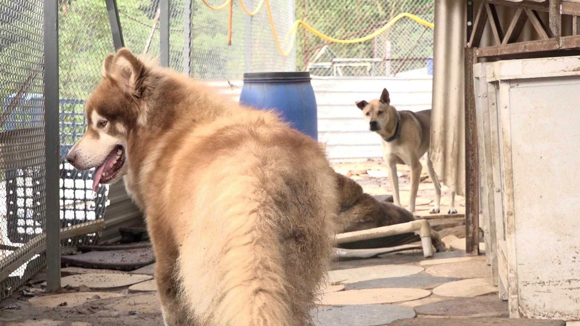狗場內有名種狗及唐狗正在尋家。(鄧穎韜攝)