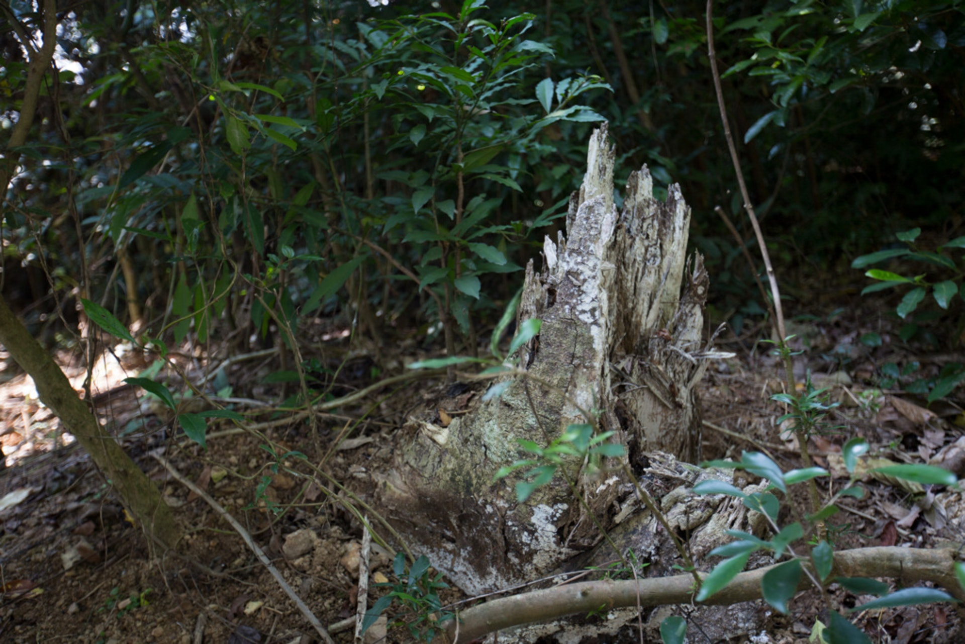 近年大量本地土沉香被砍伐。(吳鍾坤攝)
