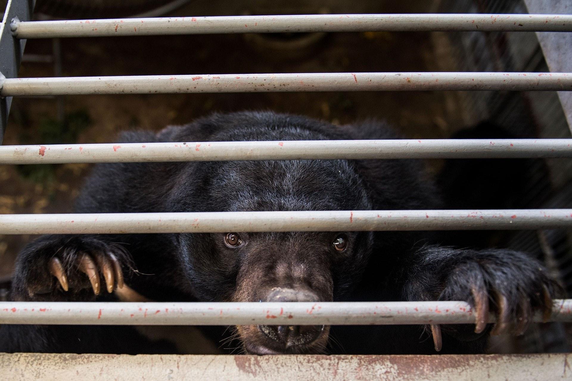 本港去年進口9.59公斤熊膽。(視覺中國)