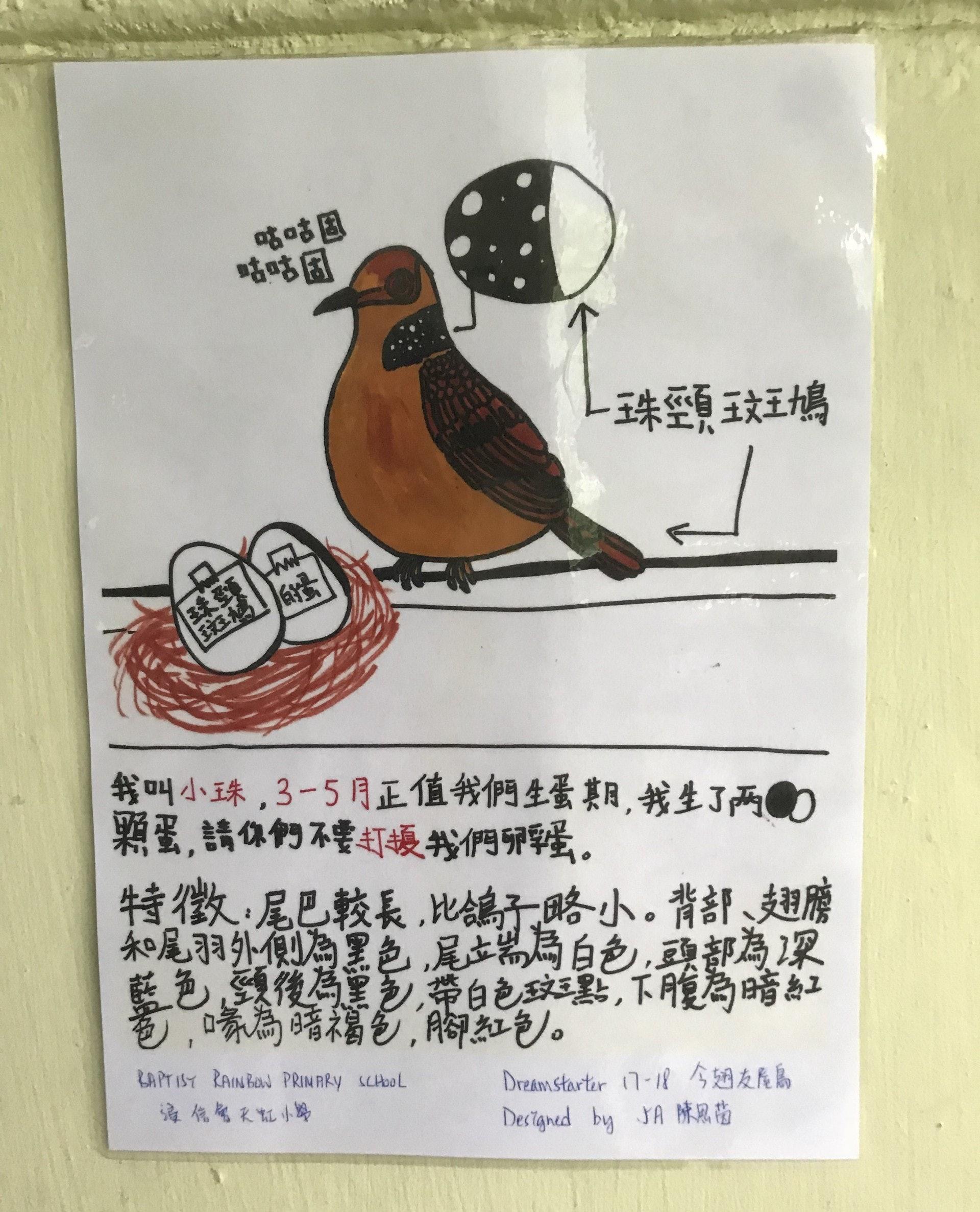 其中一隻鳥蛋已經孵化,同學更設計了一款新海報,圖文並茂地介紹了斑鳩母鳥為「小珠」。(鄧穎琳攝)