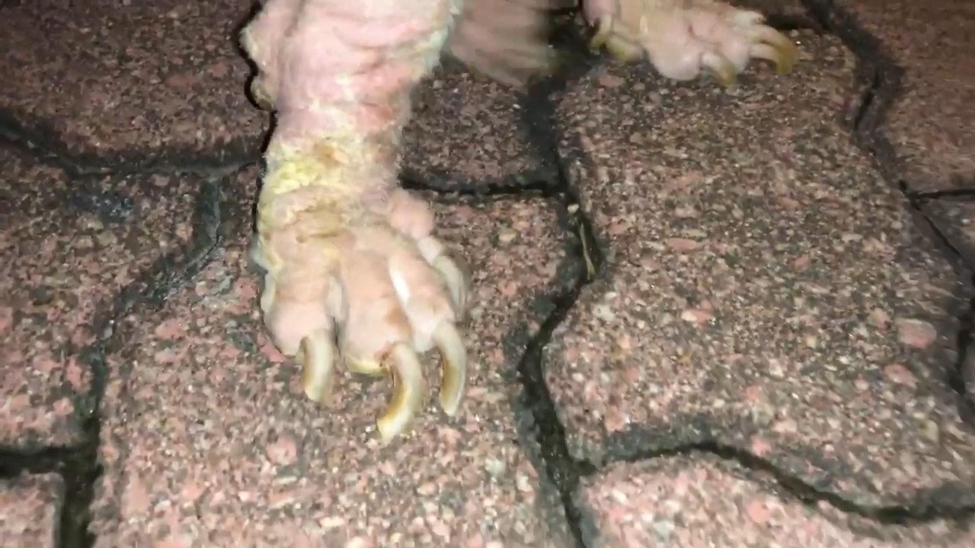 狗狗指甲非常長,可見長時間沒有接受過合理打理。(毛孩守護者facebook影片截圖)