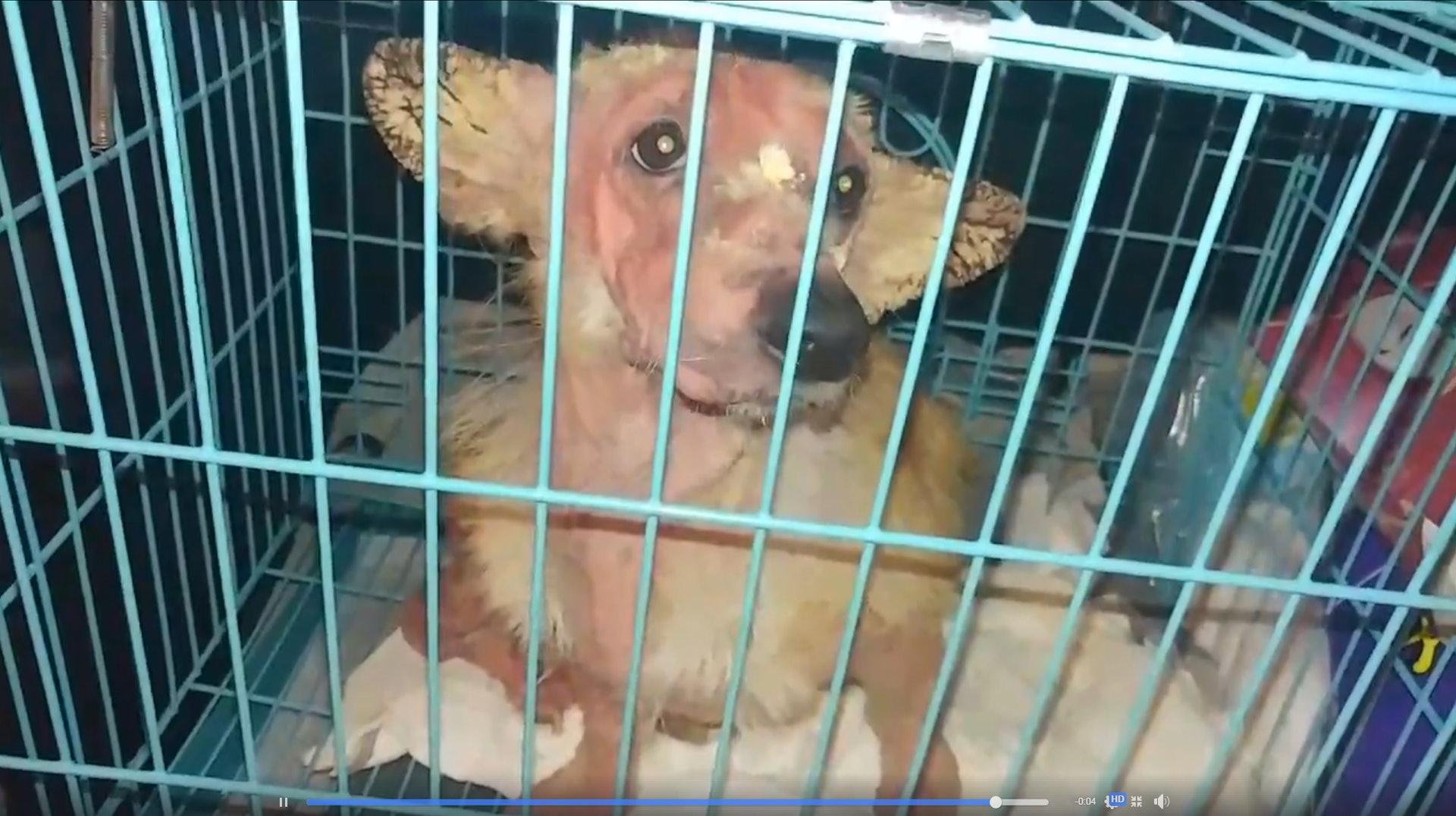 狗狗被動保組織《毛孩守護者》帶到中心接受檢查。(毛孩守護者facebook影片截圖)