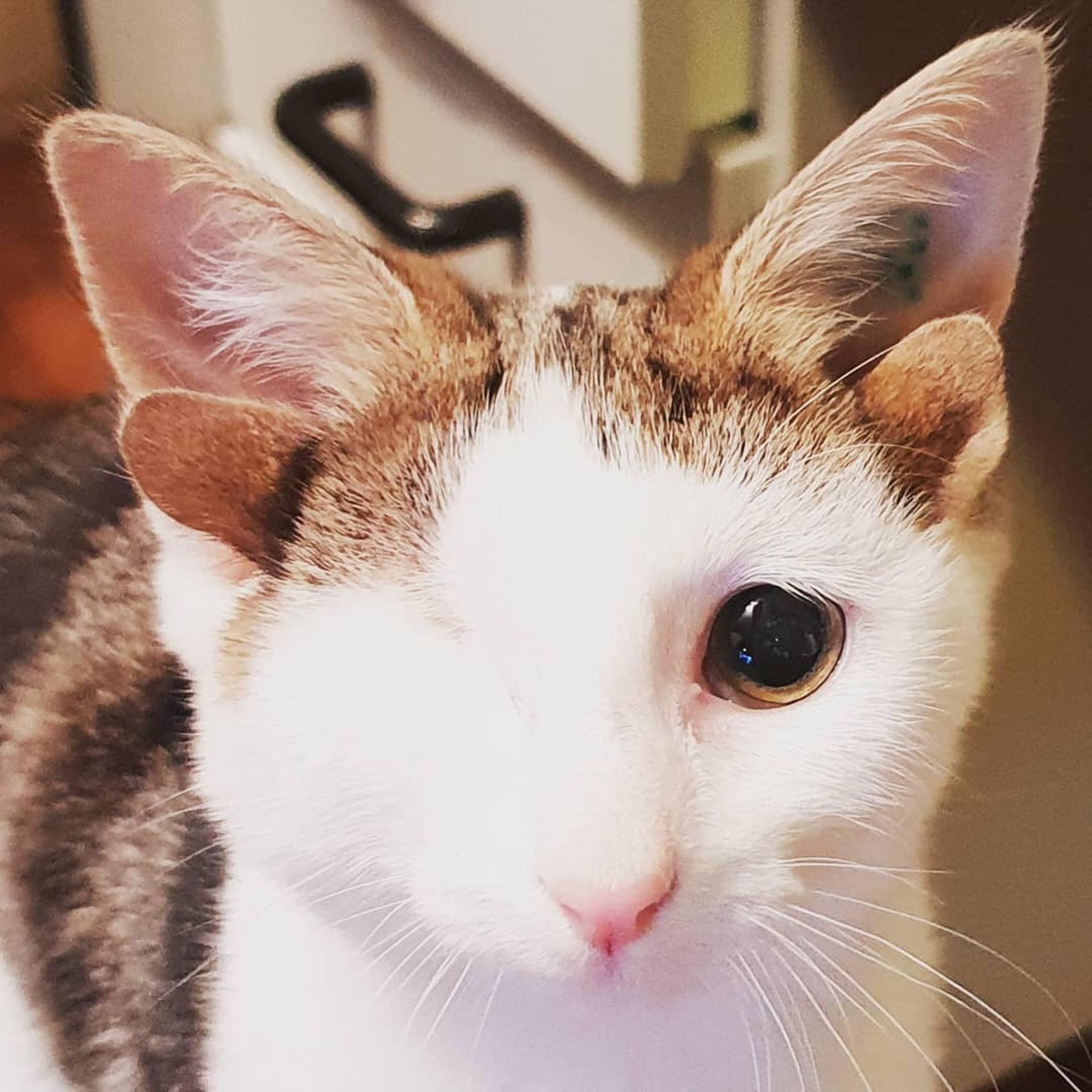 小貓Frankie不但有4隻耳朵,更只剩下左眼。(Instagram@frank_n_kitten)