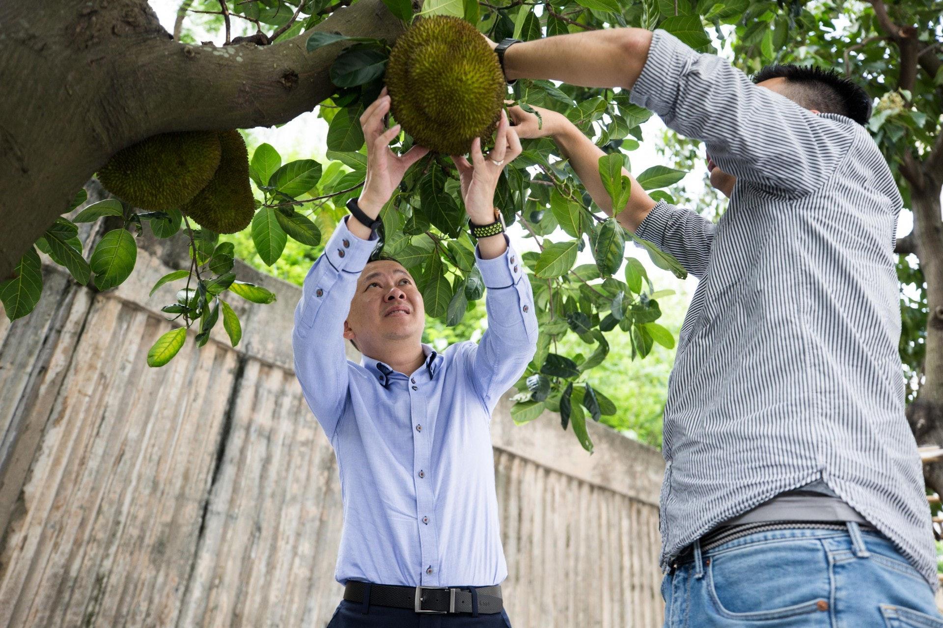 校內的大樹菠蘿成熟,兩位校長徒手摘下。(梁鵬威攝)