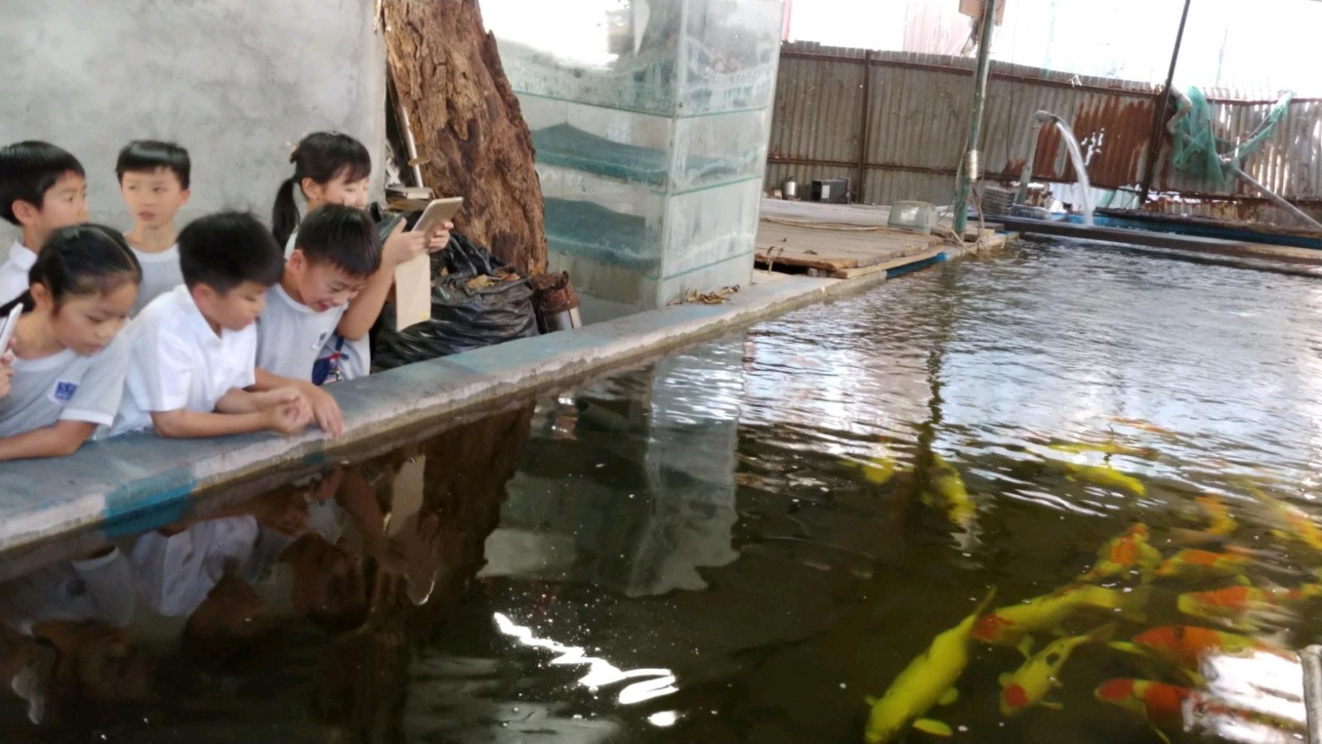 劏車場老闆養了數十條鯉魚,同學們順便上了一堂生態科學課。(德萃小學圖片)