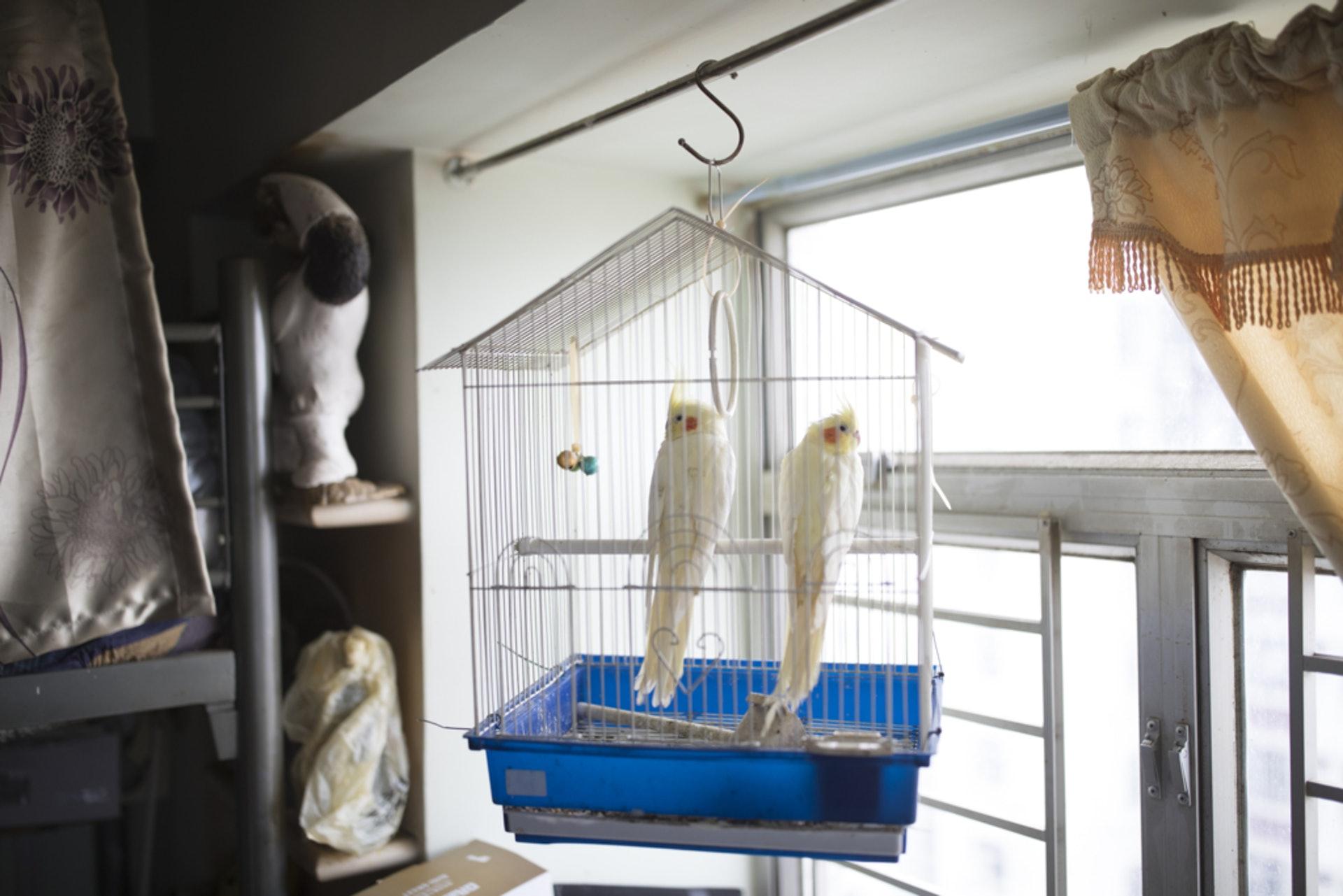Carmen家中有貓有狗有鸚鵡。這一對鸚鵡,是男友怕她因撞窗而死掉的流浪小鳥而傷心、於是送她的禮物。(攝:余俊亮)
