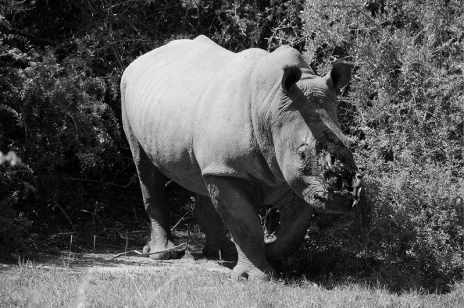 盜獵者為求得到犀牛角不擇手段,不少犀牛因而受重傷或死亡。(Getty Image)