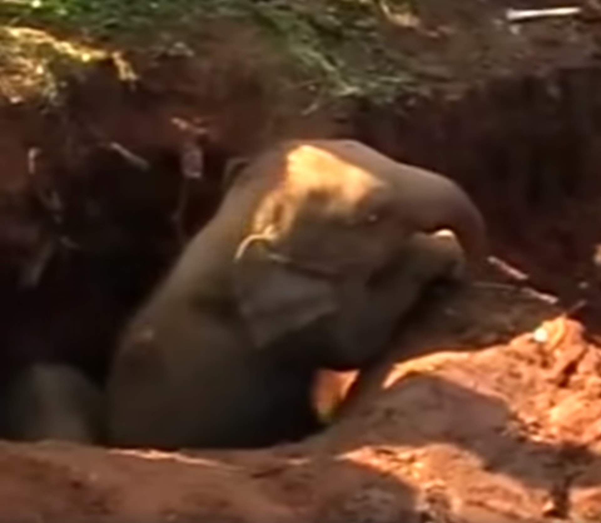 泥坑的空間太小,小象無法爬出來。(ABC影片截圖)