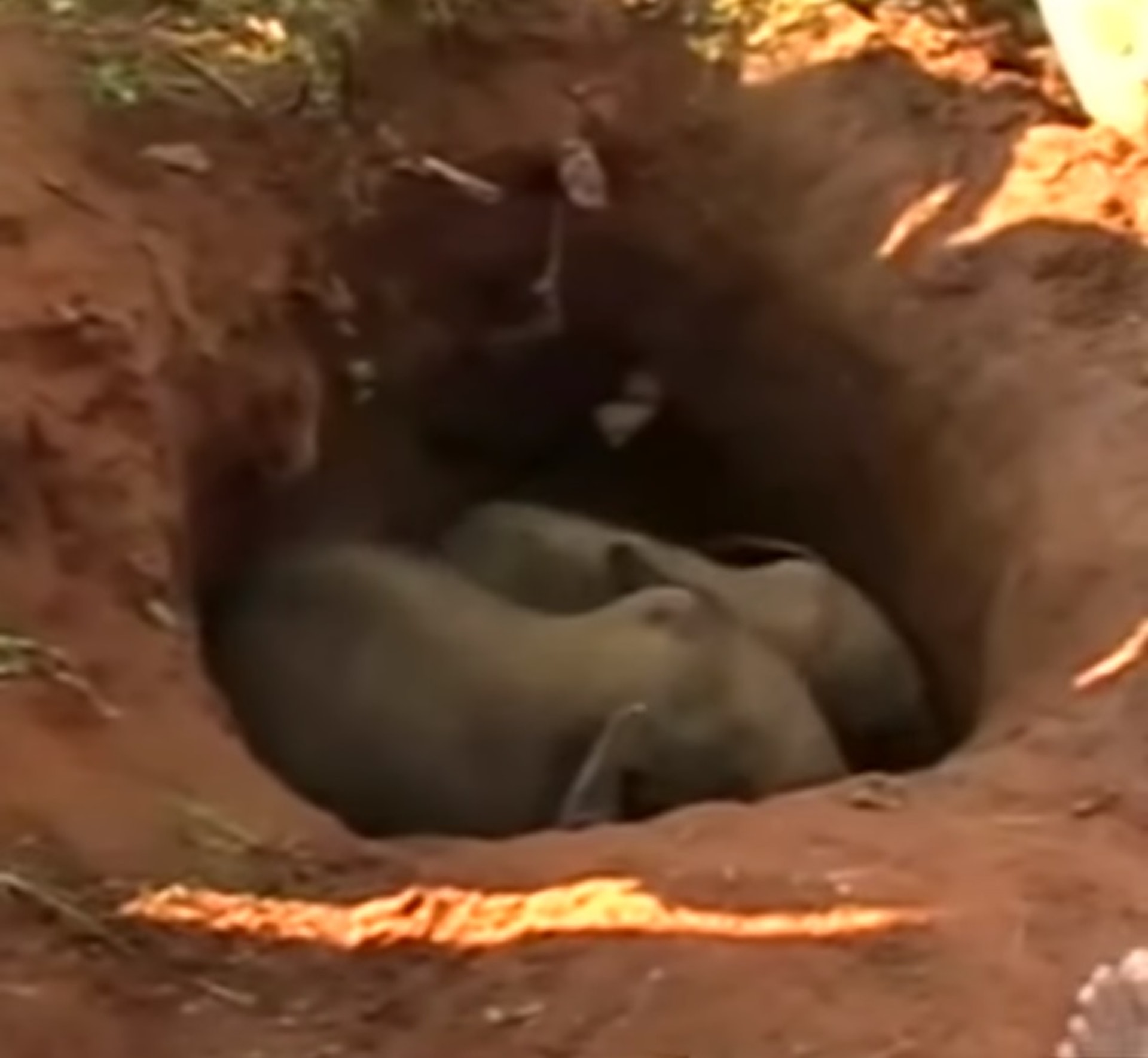 兩頭小象當日被困泥坑內近3小時。(ABC影片截圖)