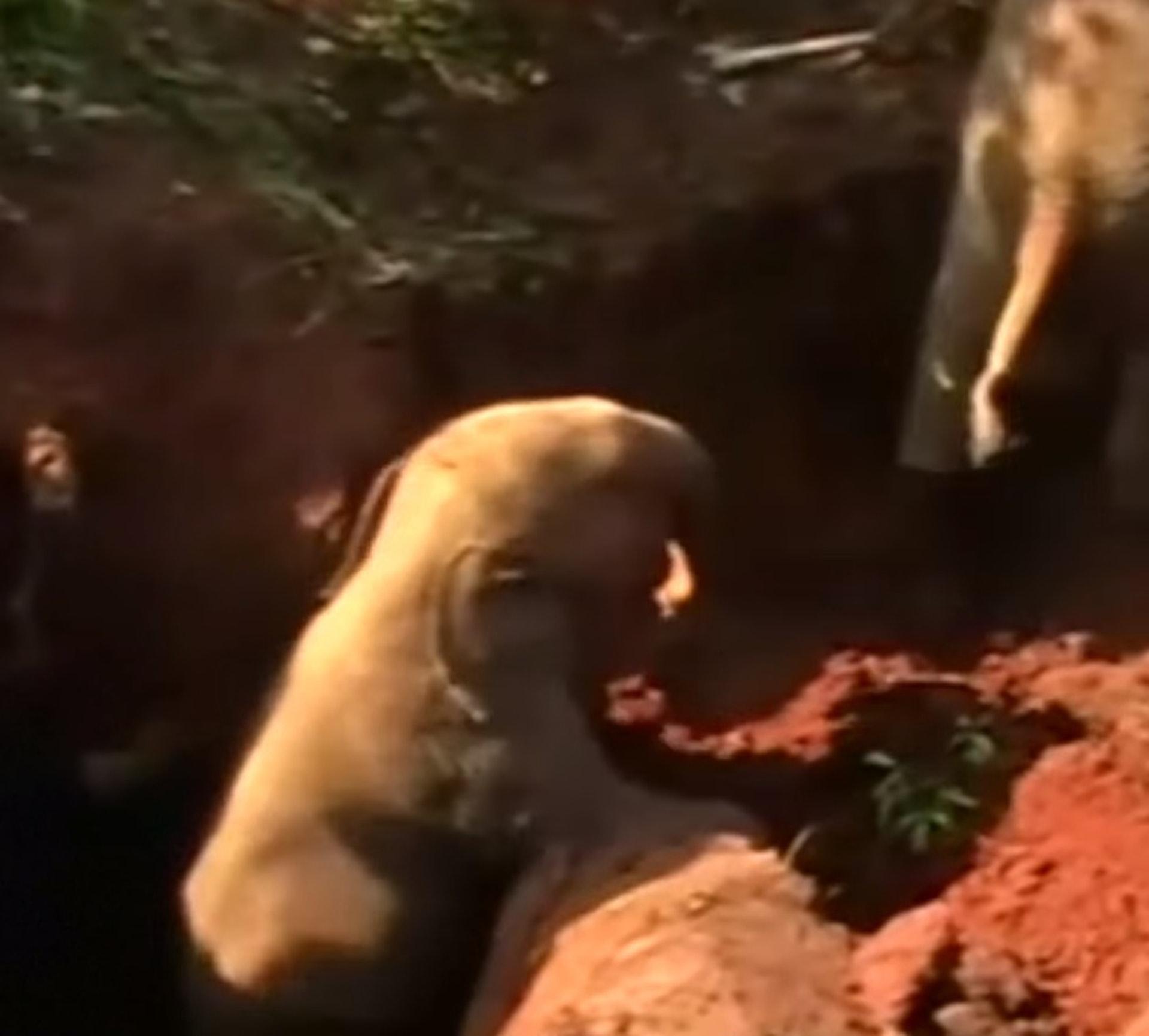 其中一頭小象很快便成功爬上來。(ABC影片截圖)
