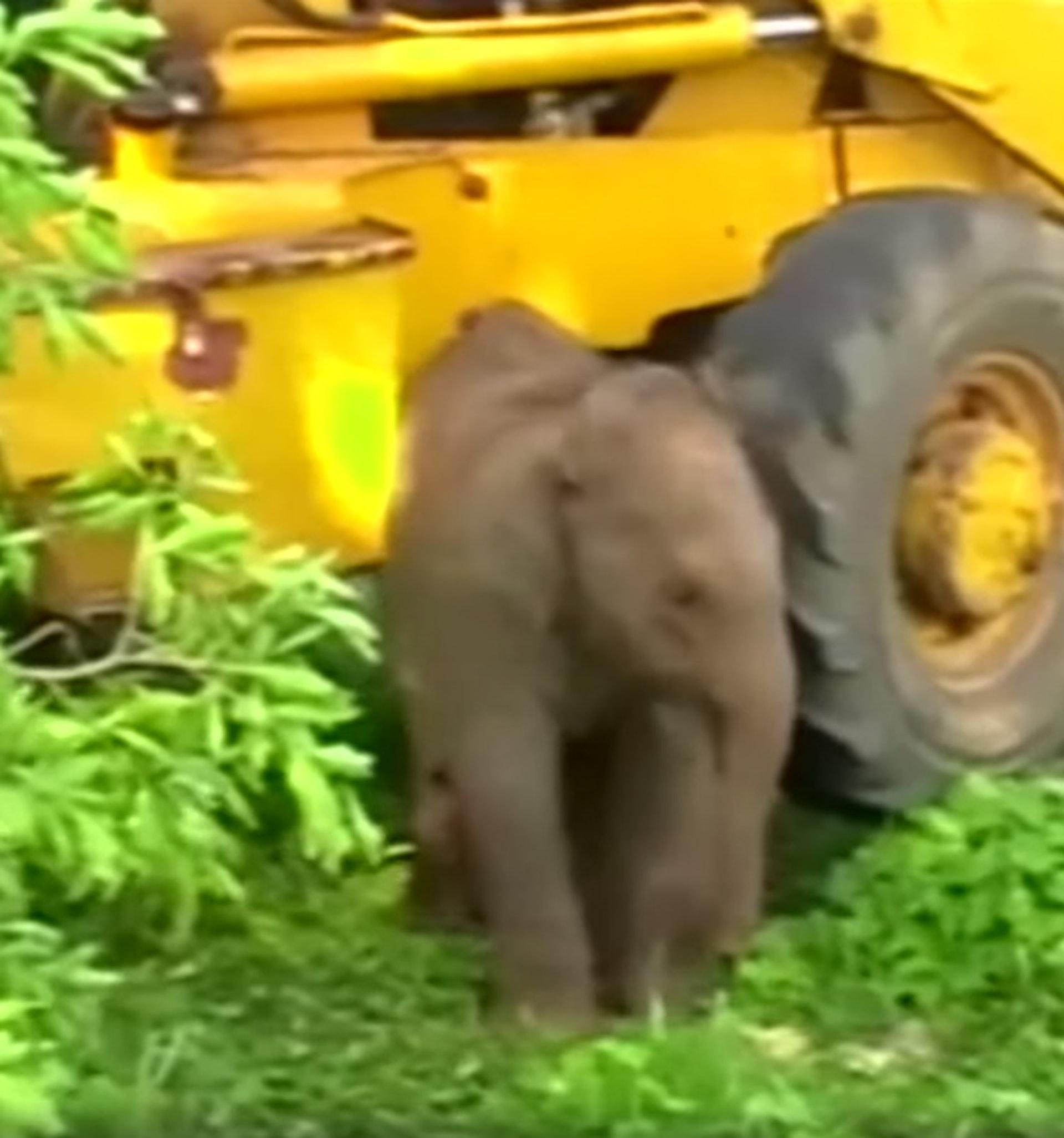 小象脫險後不肯離去,緊緊依偎着挖泥機。(ABC影片截圖)