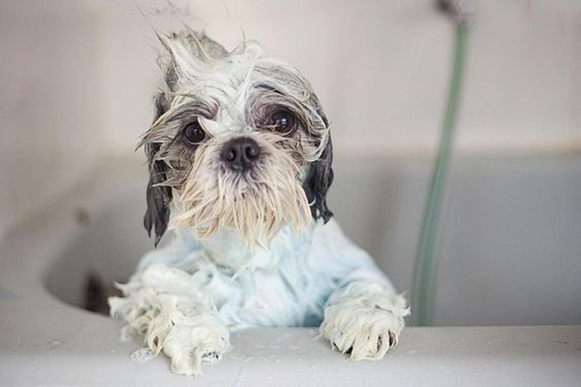 幫狗狗洗澡,有可能可以擺脫現有的跳蚤,但也不一定能讓它們脫落。(Pinterest)