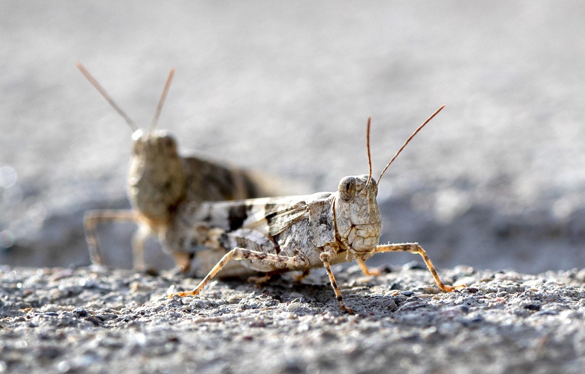 成千上萬隻蝗蟲不停在半空中飛來飛去,引起很多人恐慌。(美聯社)