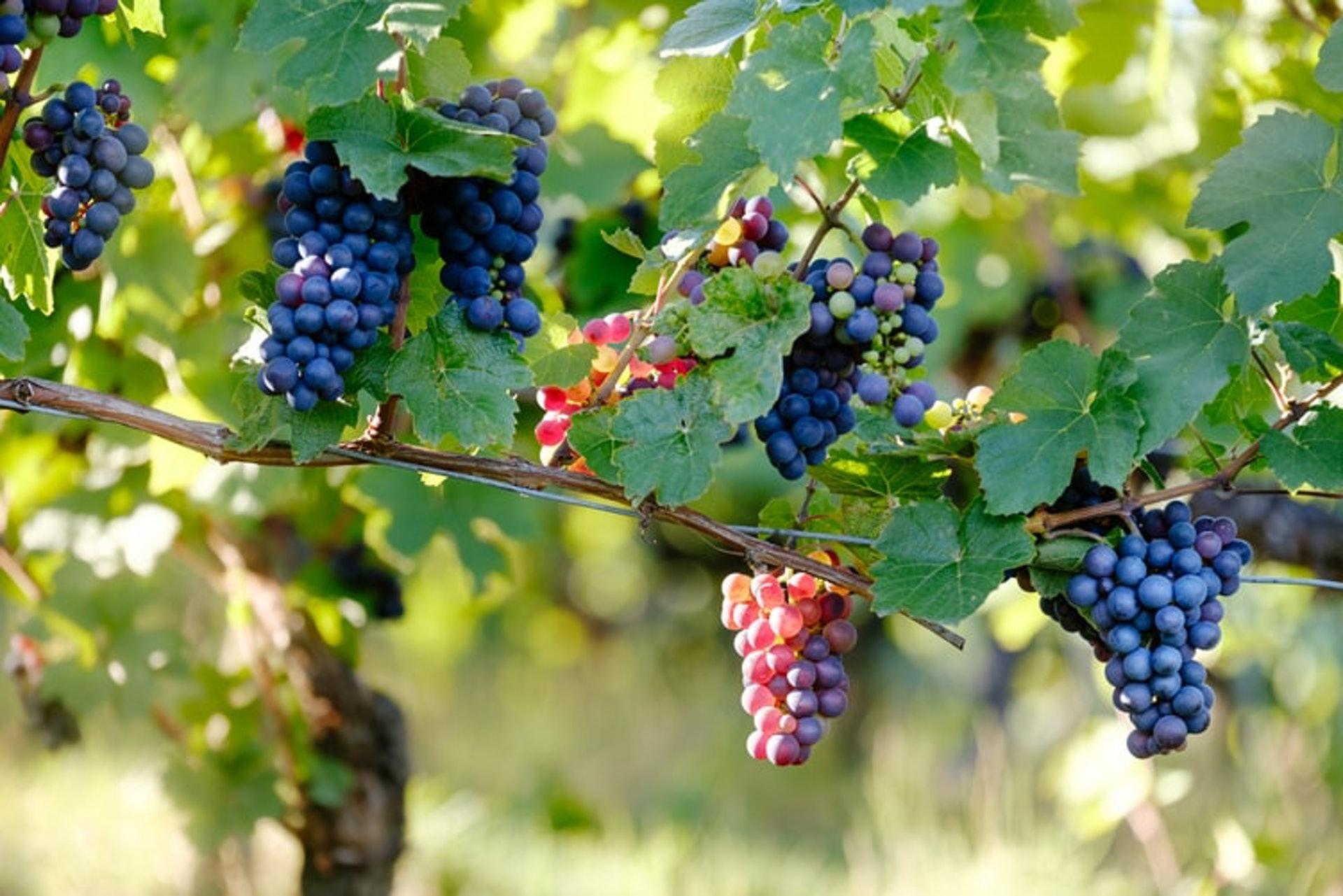 葡萄去梗後立即榨汁,稱為「自流汁」。( Samuel Zeller / unsplash )