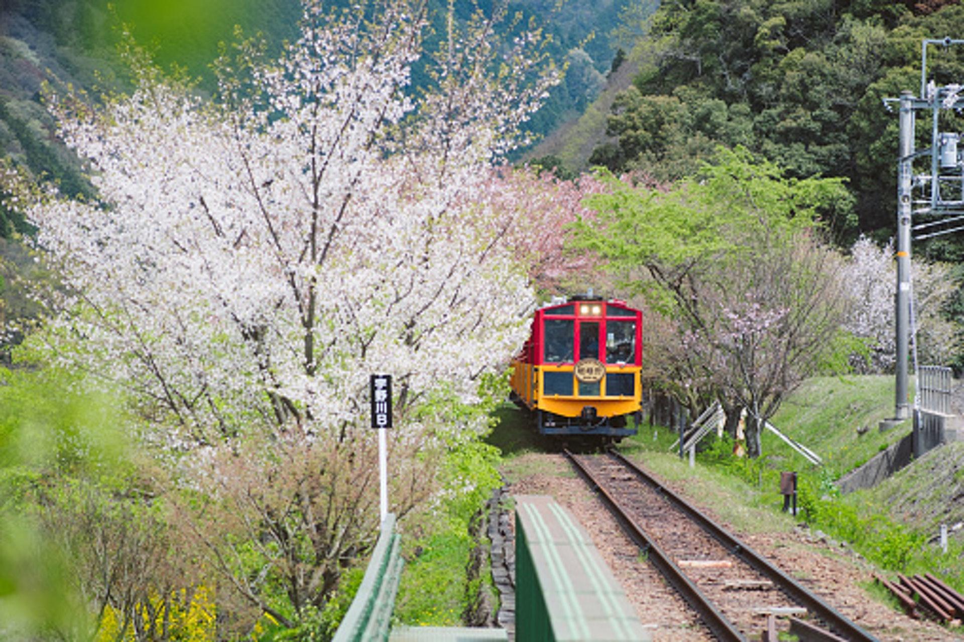 嵯峨野觀光線,在春季可賞櫻。(gettyimages)