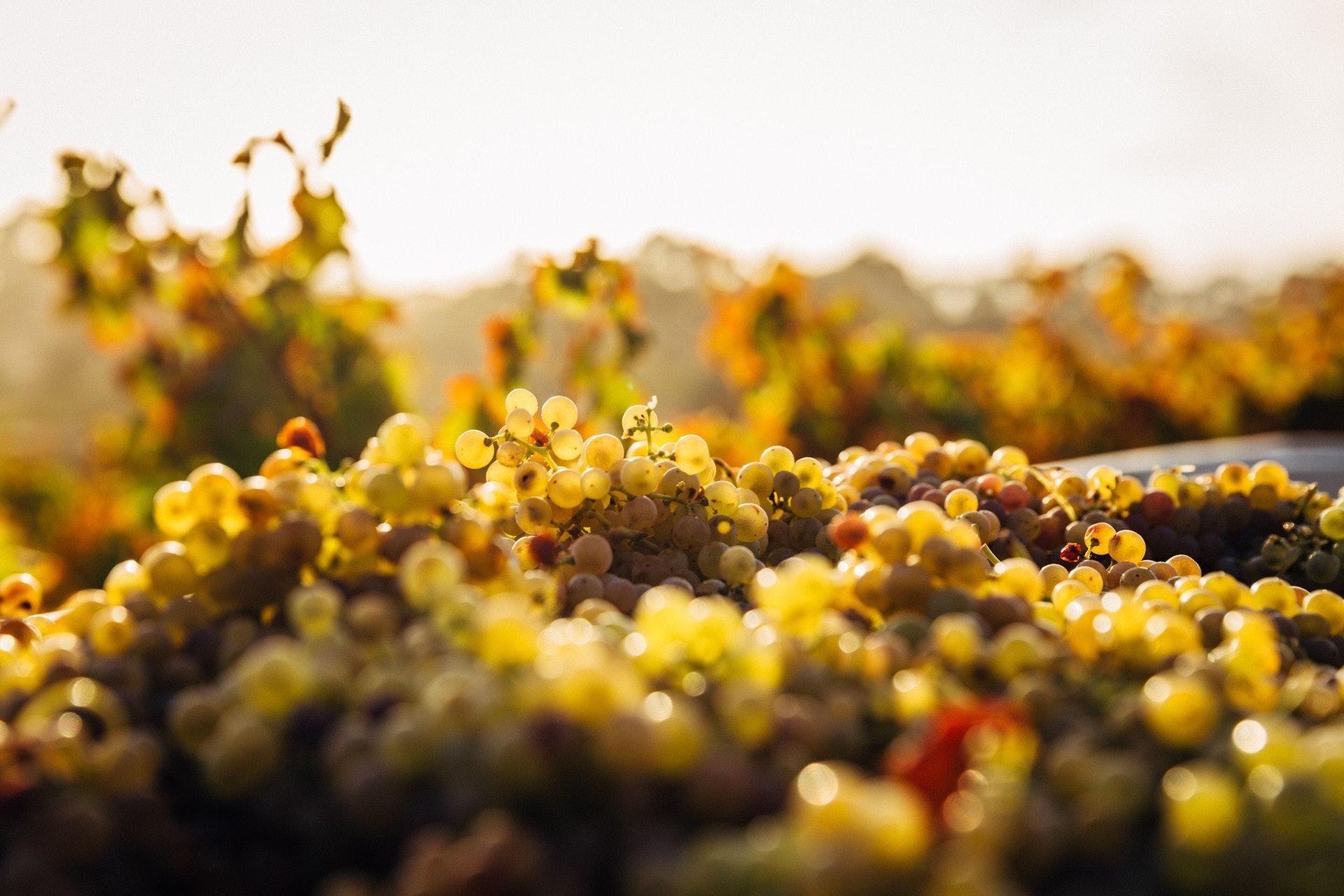 釀造 Sherry 會用到三種白葡萄品種:帕諾米諾(Palomino)、佩德羅-希梅內斯(Pedro Ximenez,簡稱PX)、亞歷山大麝香(Muscat of Alexandria)。(unsplash@Thomas Schaefer)