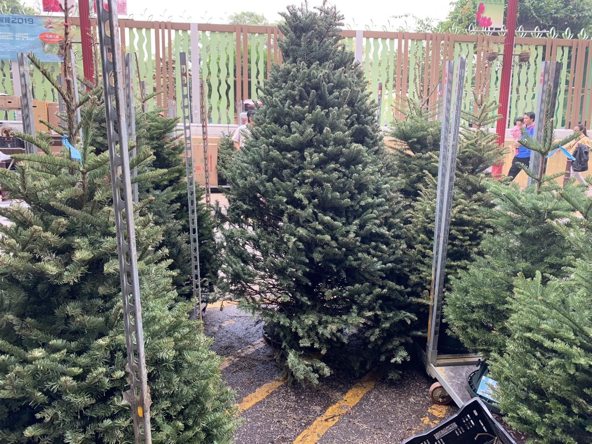 有花店更將某些棵十呎高、能售六至七千元的巨型聖誕樹從底部鋸短,以矮樹的價錢較低價出售。(曾凱欣攝)