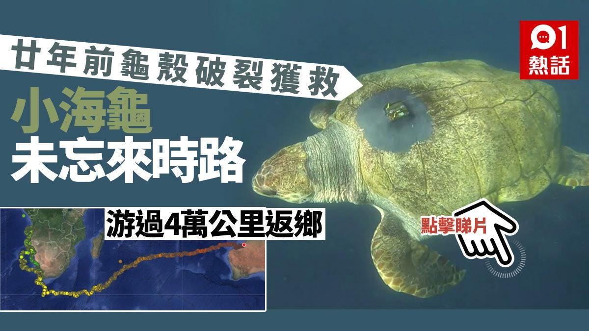 龜殼破裂獲南非水族館照顧20年 明星龜Yoshi游過4萬公里返故鄉