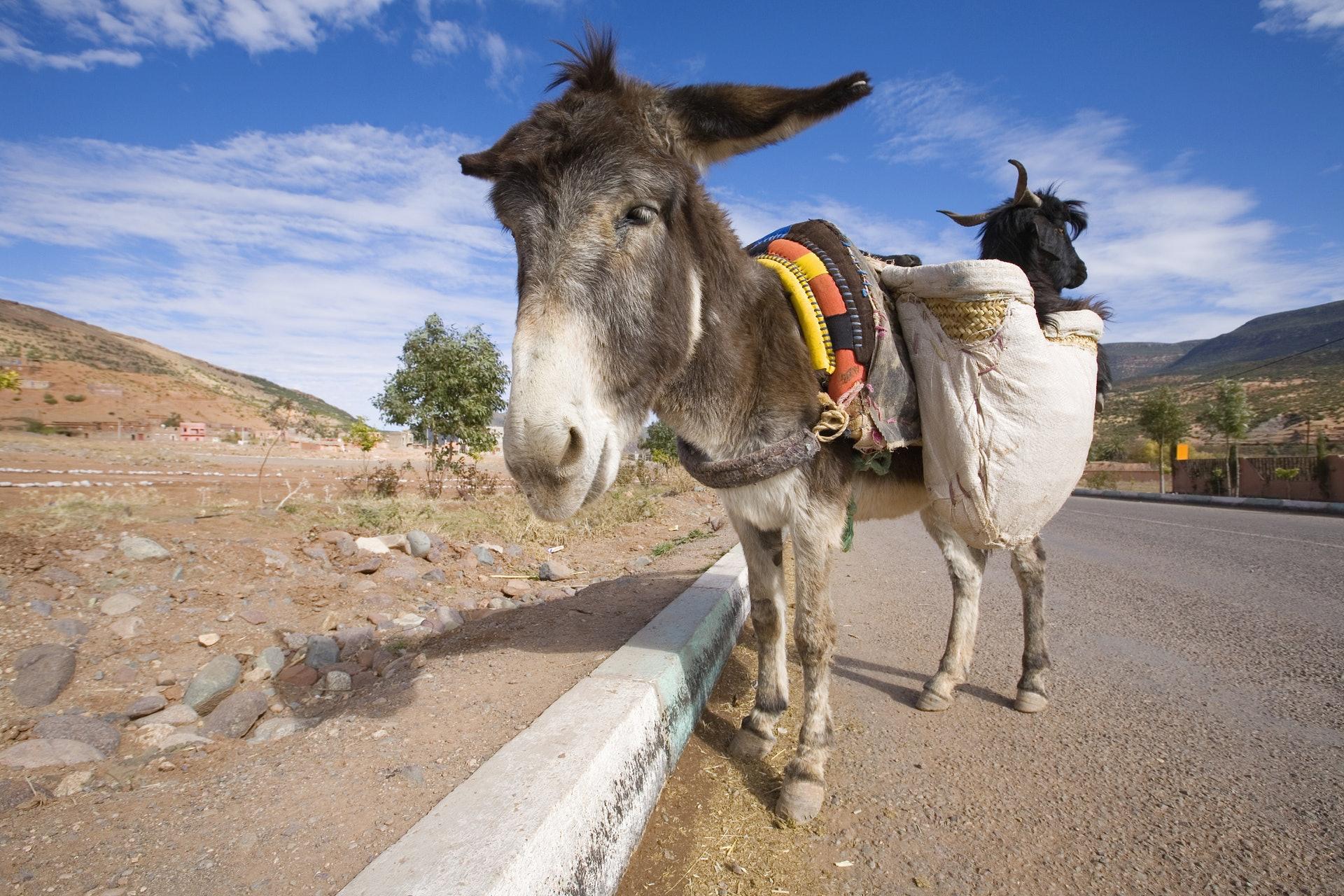 驢仔是中藥阿膠的原材料,每年不少驢引因而被虐殺。(視覺中國)