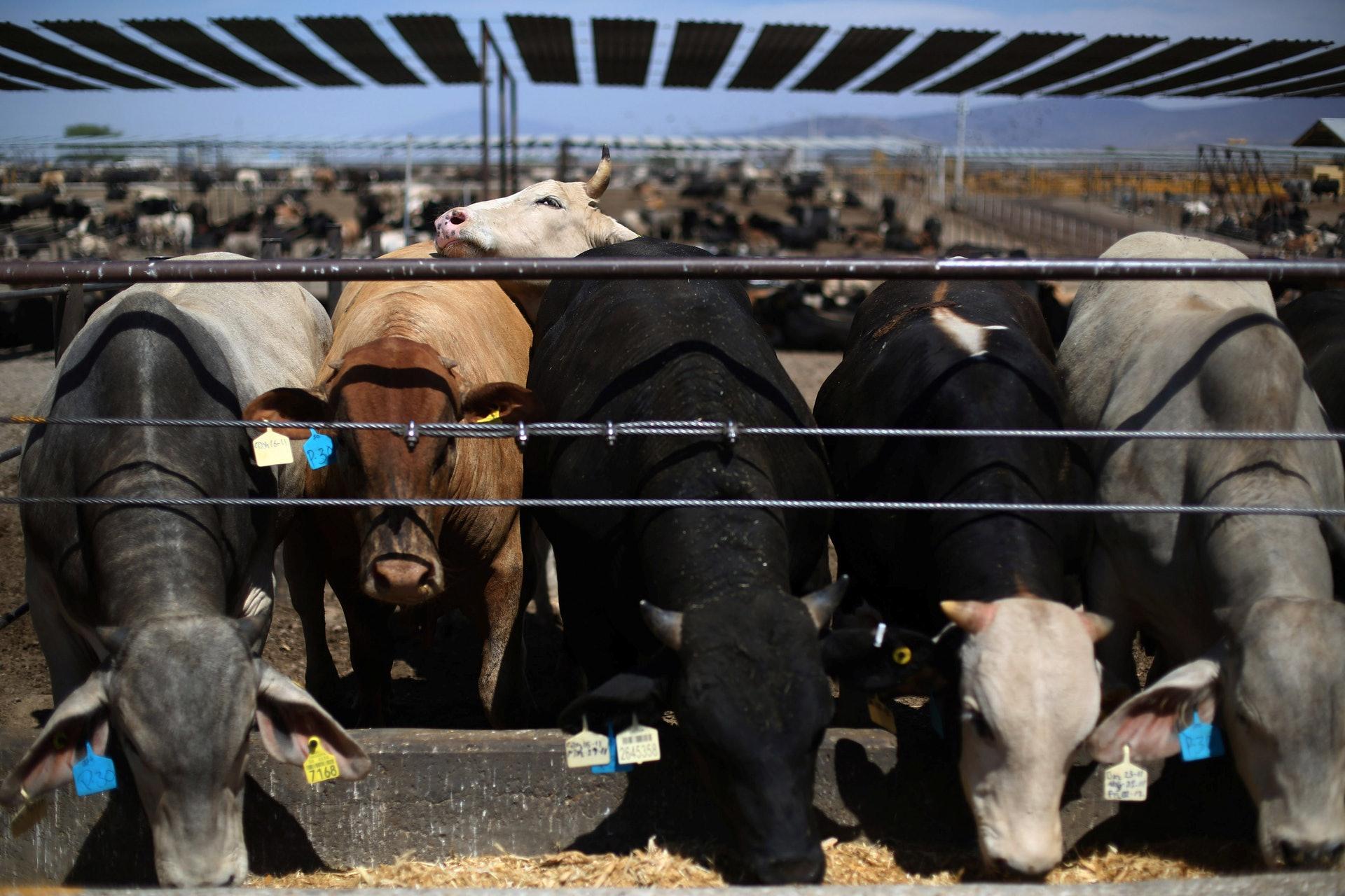 5月12日,中國正式宣布,自當日起禁止澳洲四家牛肉廠對華出口牛肉。(Reuters)