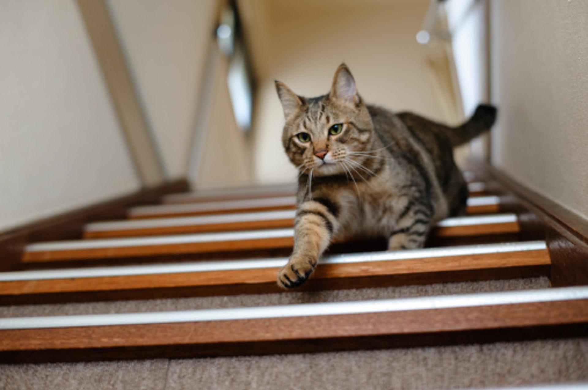 已經痛到無法跳上跳落,但貓貓都仲死頂。(GettyImages)