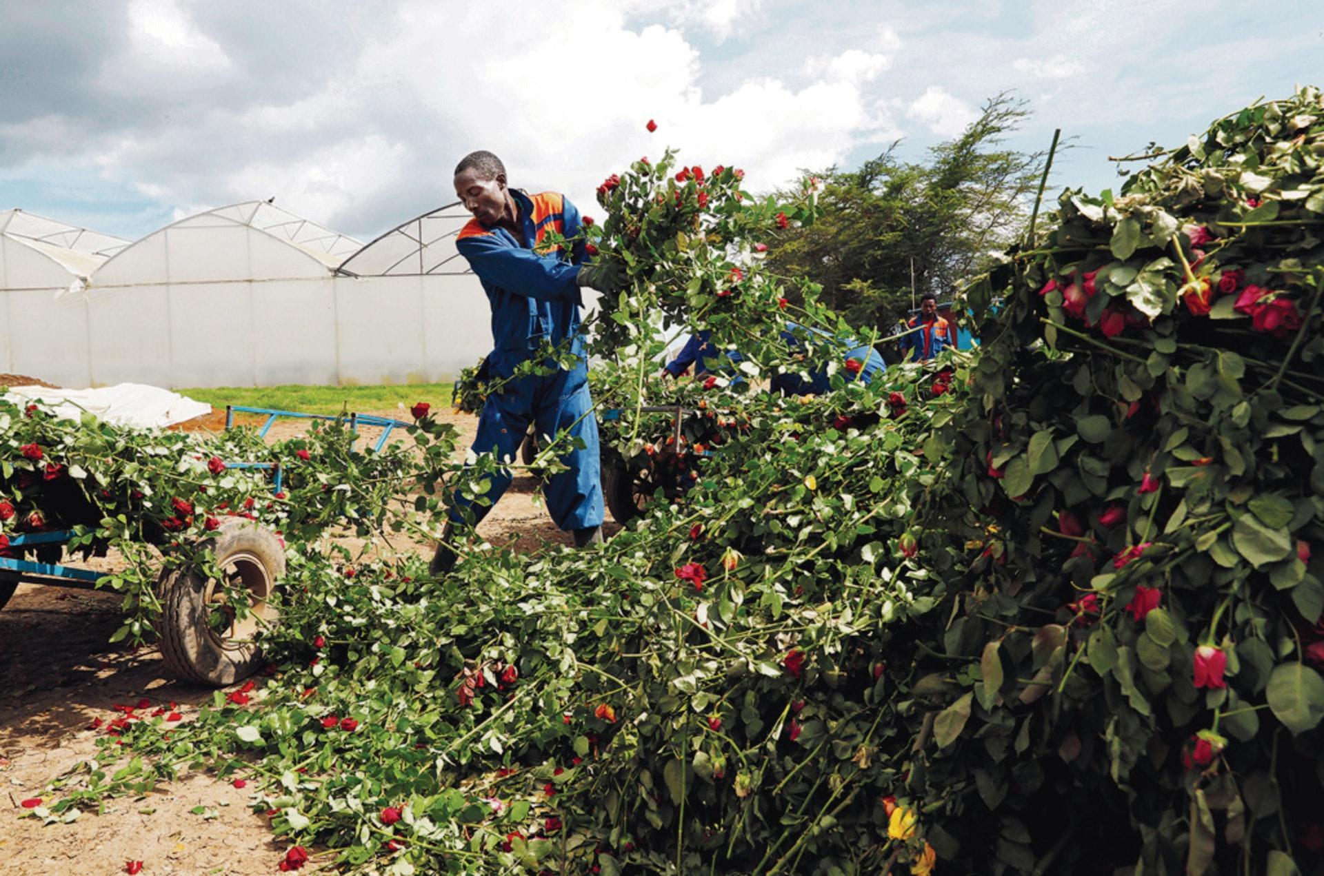 在肯尼亞奈瓦沙,工人把無法運往歐洲販賣的玫瑰丟棄。(路透社)