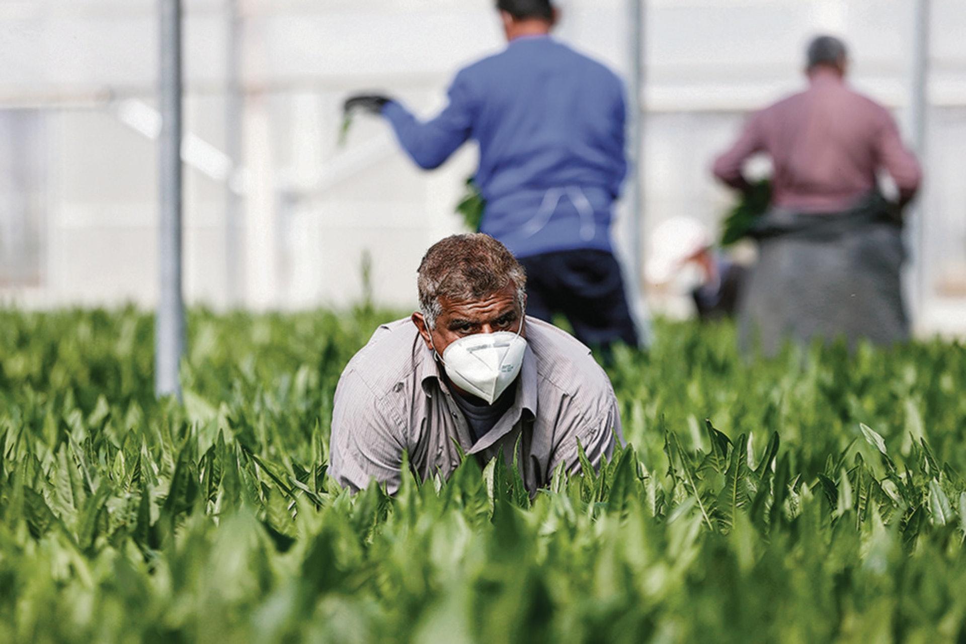 西歐及北歐多國每年都需要大量季節性勞工協助收割農作物,但今年因為封關,人手嚴重不足。(美聯社)
