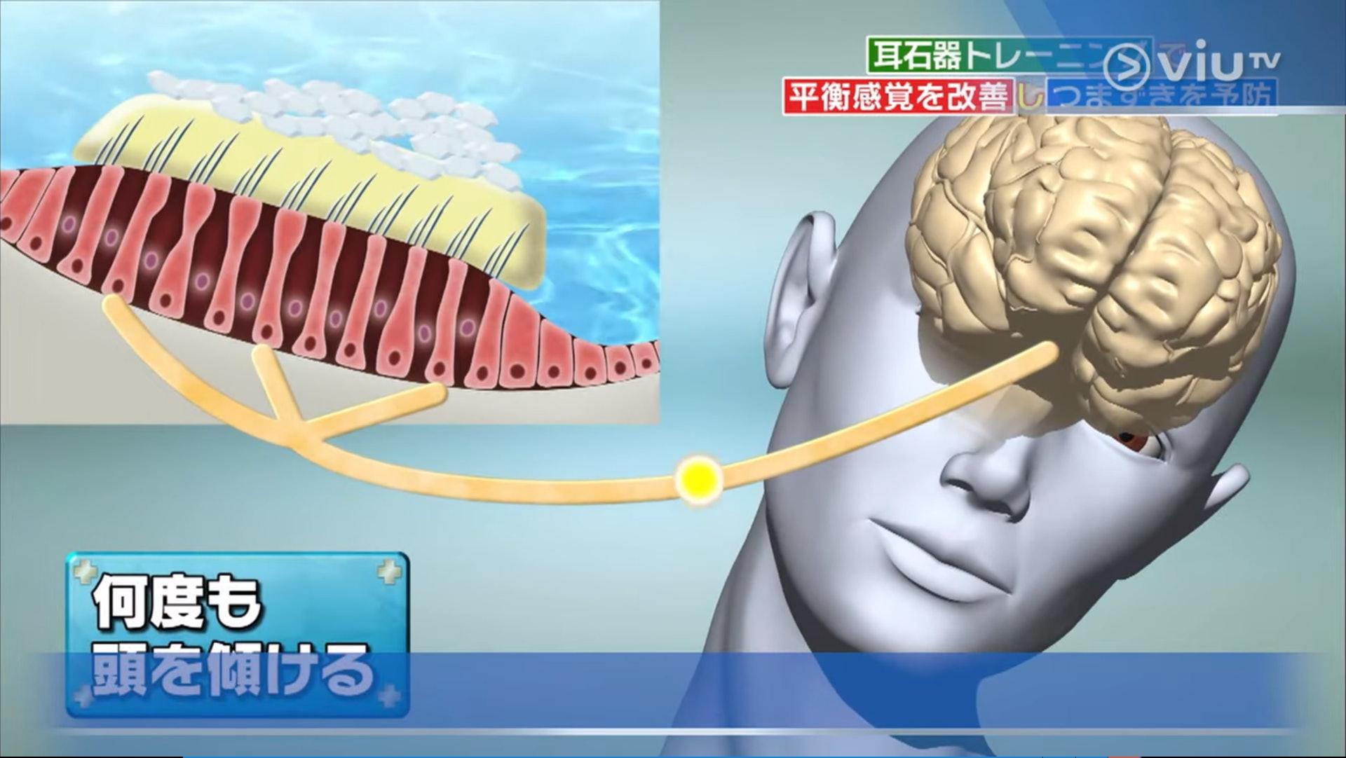 頭打側時,耳石器會感應到身體傾斜,透過神經把訊息傳到腦部,多次重複這個動作可同時刺激耳石器及連接腦部的神經,改善平衝力。(viu TV《恐怖醫學》影片截圖)