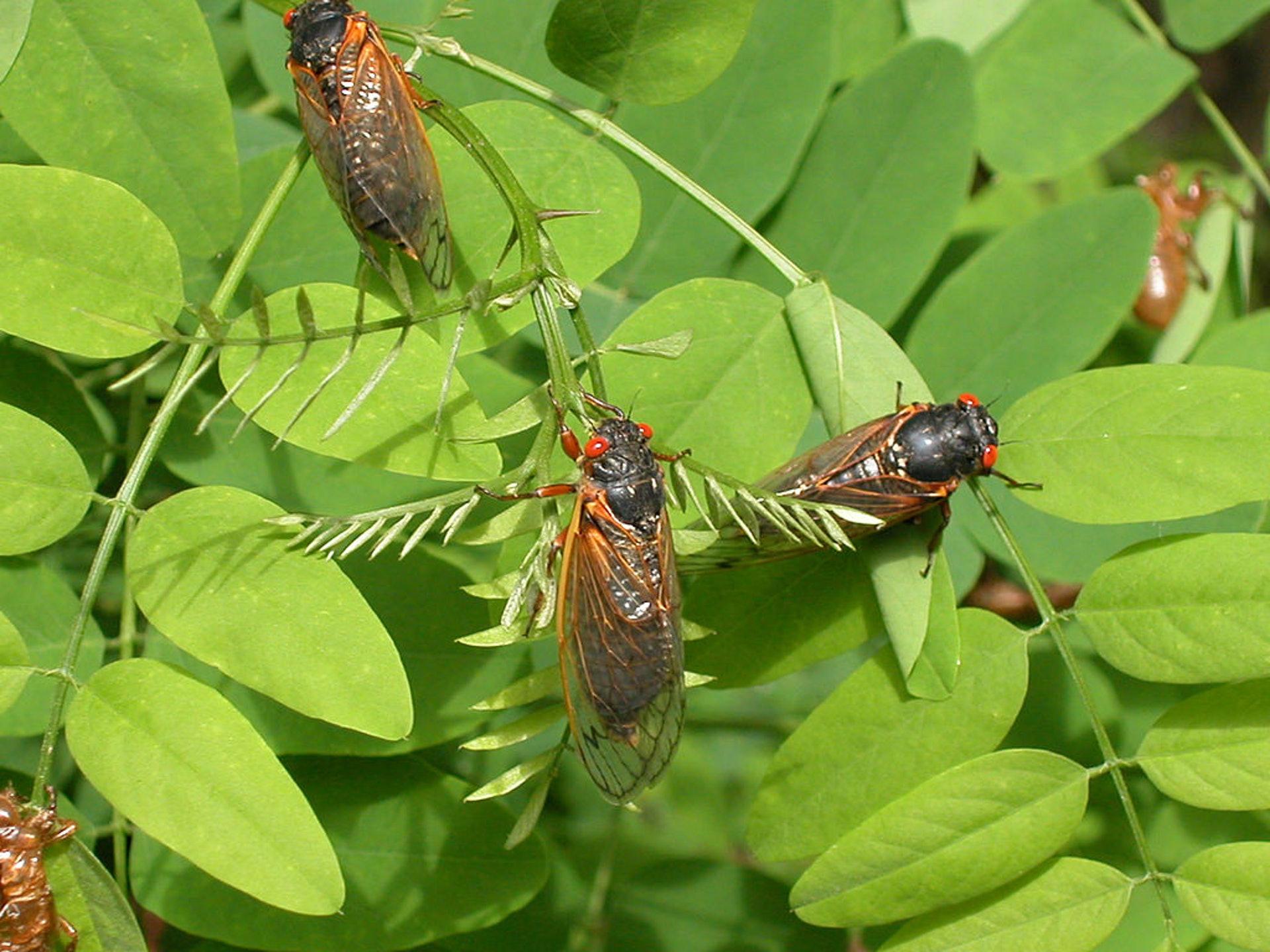 繼疫情及大黃蜂後「17年蟬」將回歸襲美預計每畝高達150萬隻|香港01|世界專題
