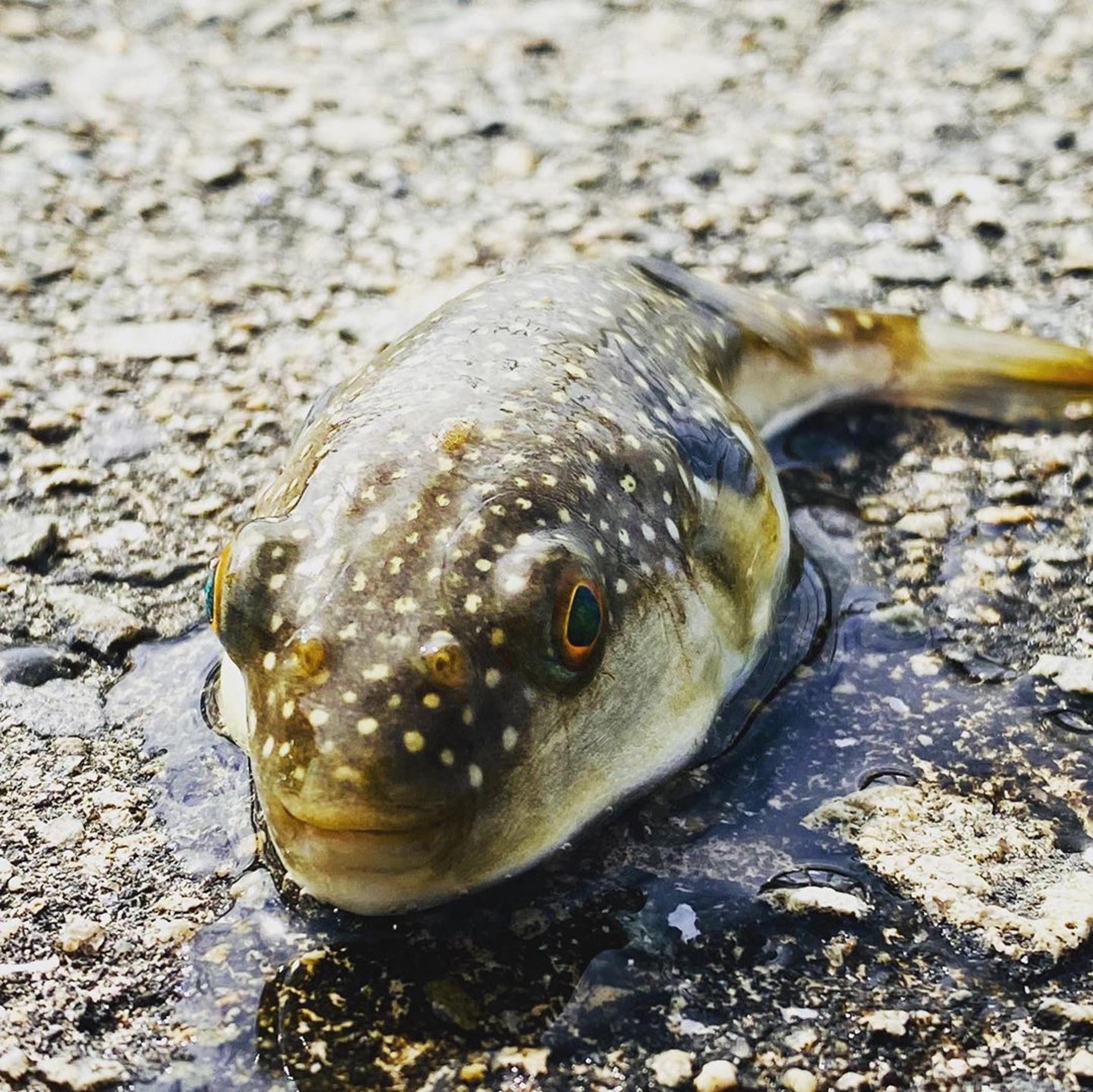 河豚的內臟包含肝臟、卵巢等都具有毒性,會讓人嘴舌甚至身體麻痹,最糟糕的情況下還會造成死亡。(IG@hachimitsu547)