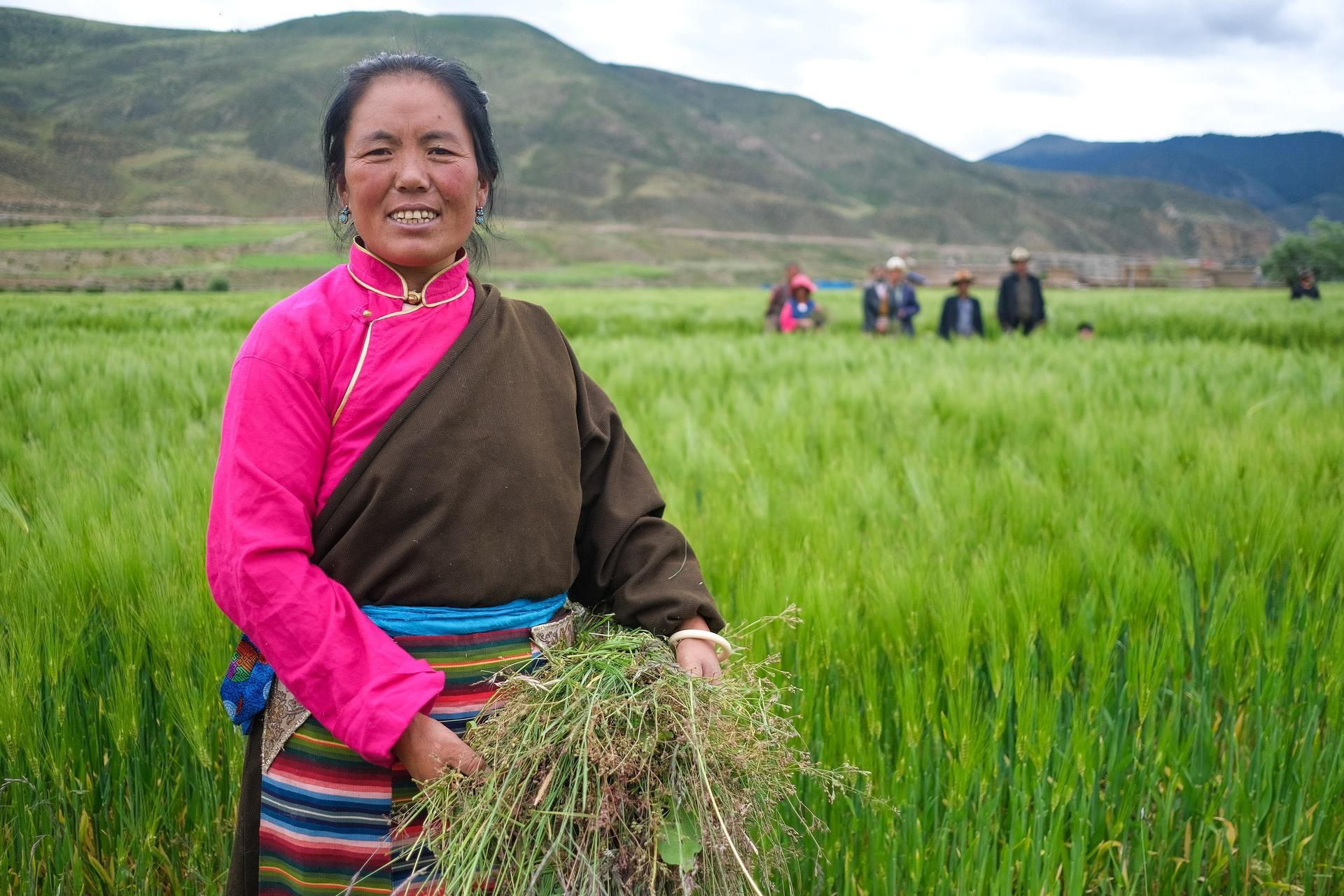 """西藏æ′›éš†ç¸£,7月28æ—¥,當地村民在青稞地裡æ‹""""除雜草。(ä¸-新社)"""