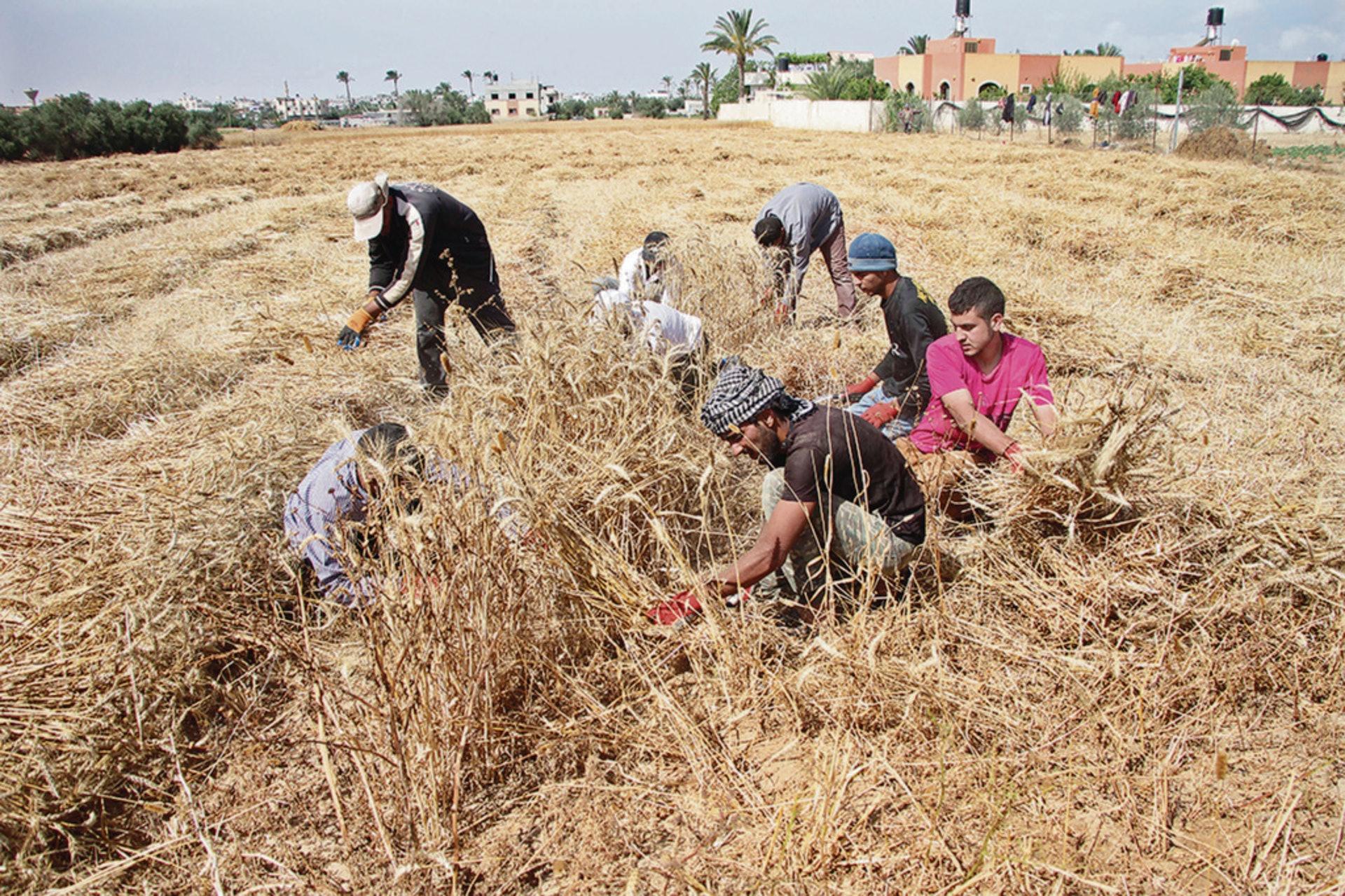 全球正面對糧食危機,預料嚴重糧食不足人口將增至2.65億。圖為巴基斯坦青年在加薩的農場收割小麥。(新華社)