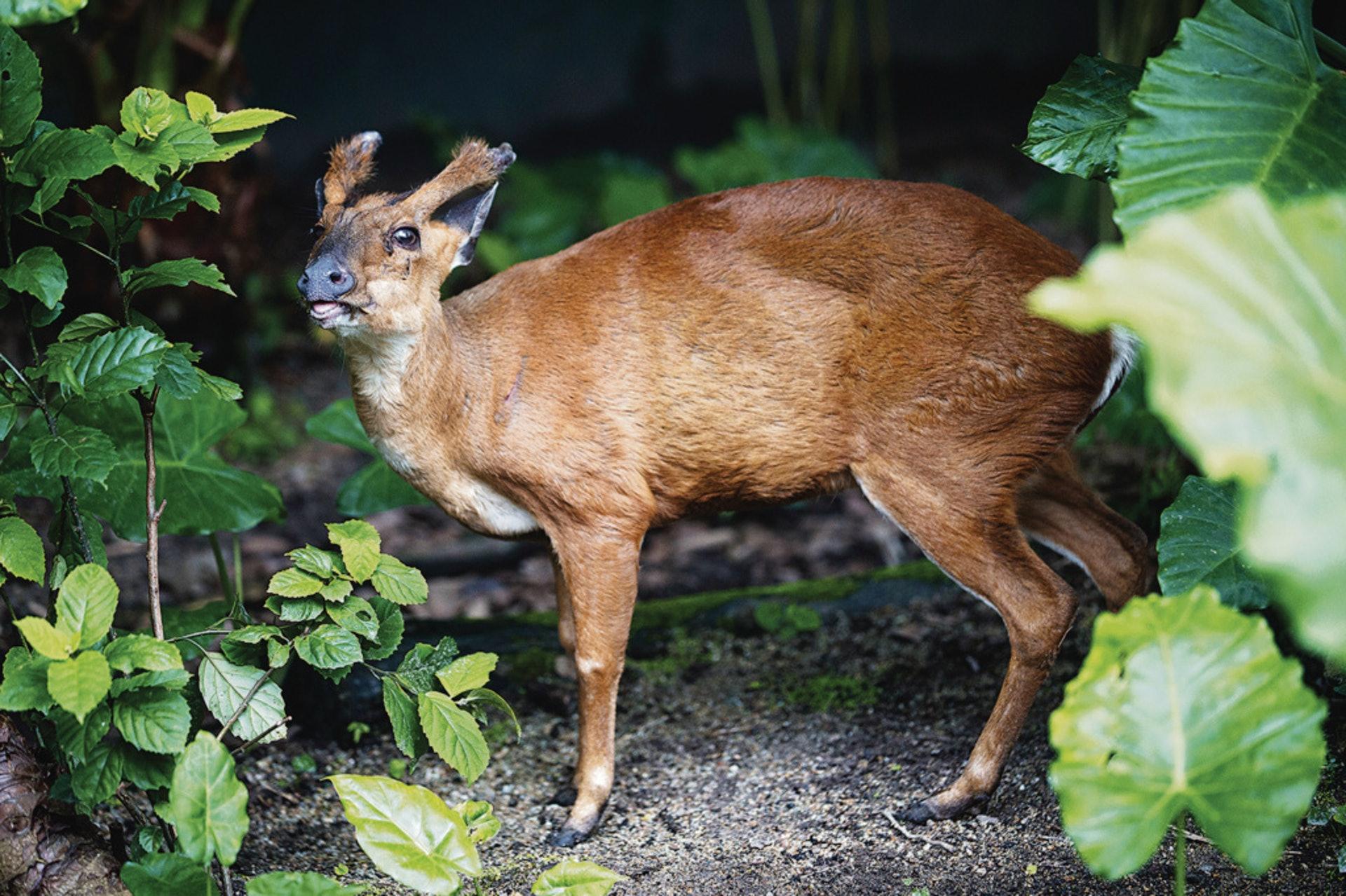 在郊野觀察動物,可更正面地建立欣賞大自然和尊重生命的態度。圖為山林中的赤麂。(資料圖片)