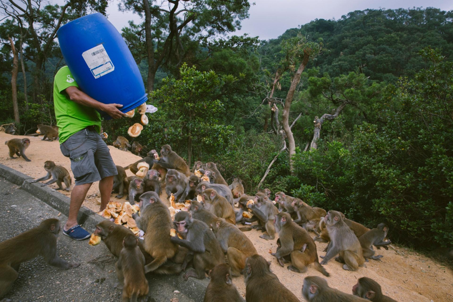 出於對動物的愛心而餵飼野豬和獮猴,有可能使這些動物一旦嘗得「甜頭」,自是依賴人類的餵食,致使牠們習慣向遊人討吃、搶食,甚至作出騷擾和攻擊行為。(資料圖片)