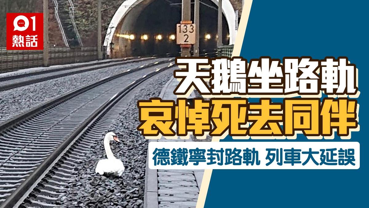 鶼鰈情深│天鵝坐路軌哀悼同伴 德鐵路封軌23列火車大延誤
