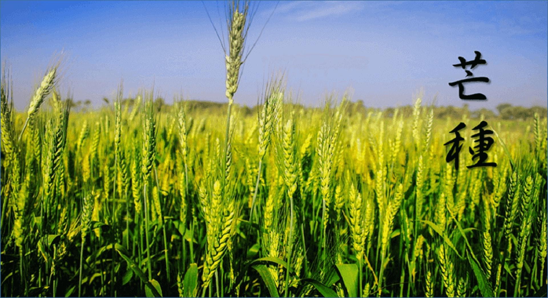 芒種是大麥、小麥等有芒的農作物成熟的日子,也意味著仲夏正式開始。(圖片:lohas.acsite)