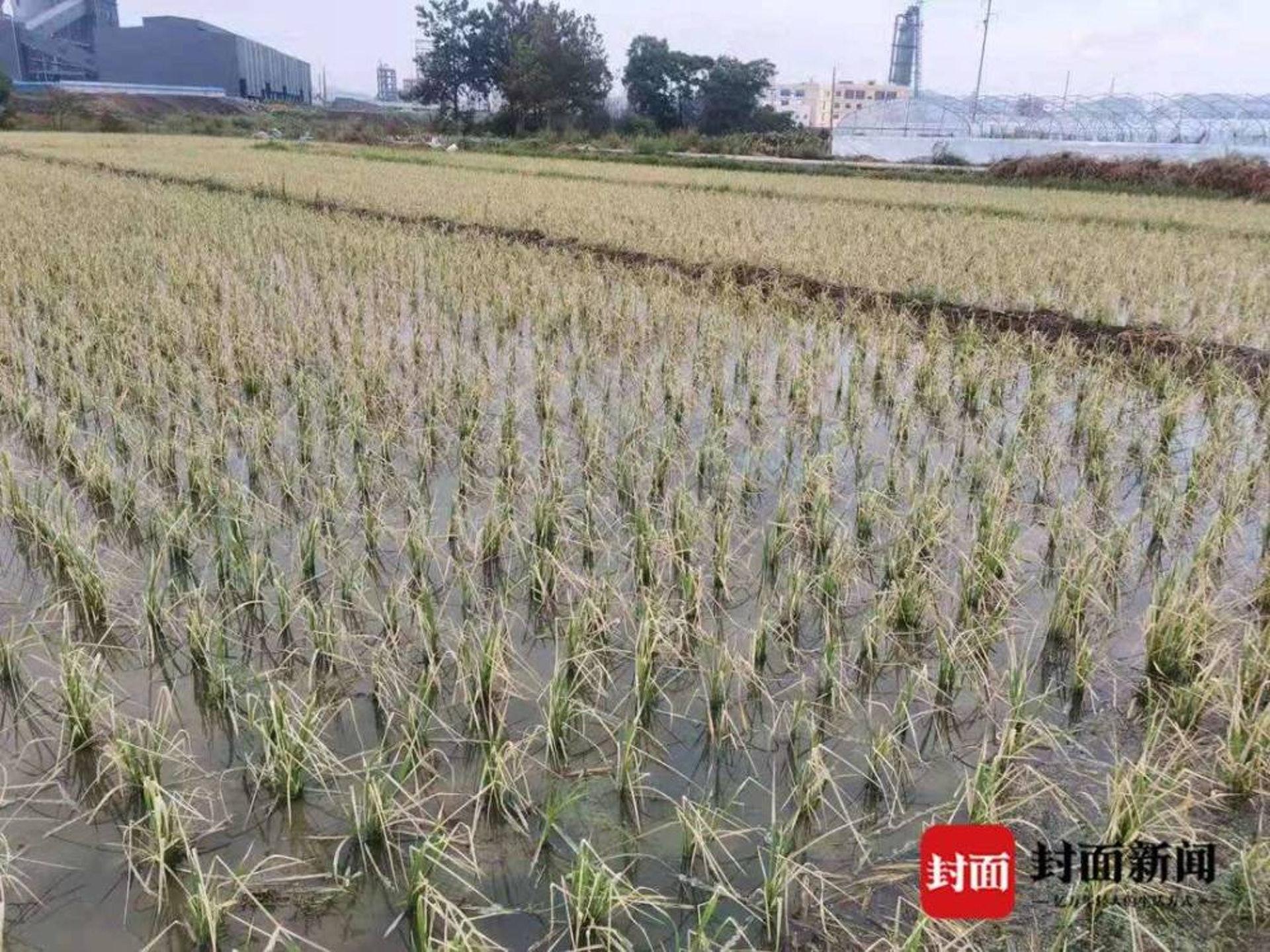 農作物因刺激性氣體枯萎。(封面新聞)
