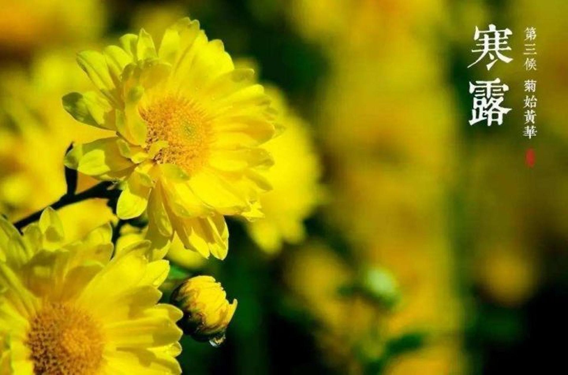 「寒露」是秋天後首個以「寒」命名的節氣,期間菊花盛開,更有多種養生用途。(圖片:jwfzl)