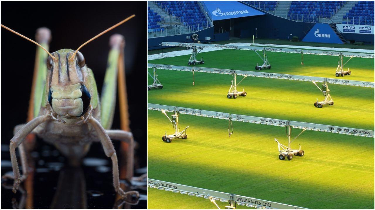 俄罗斯正在使用特制荧光灯养草,准备供作赛使用的圣彼得堡大球场。