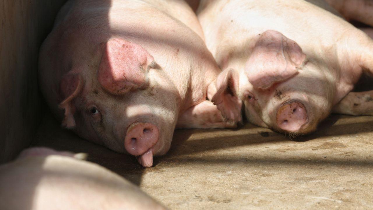 荃灣屠房: 【非洲豬瘟】荃灣屠房提早明日恢復屠宰 約520港豬供應市場|香港01|社會新聞