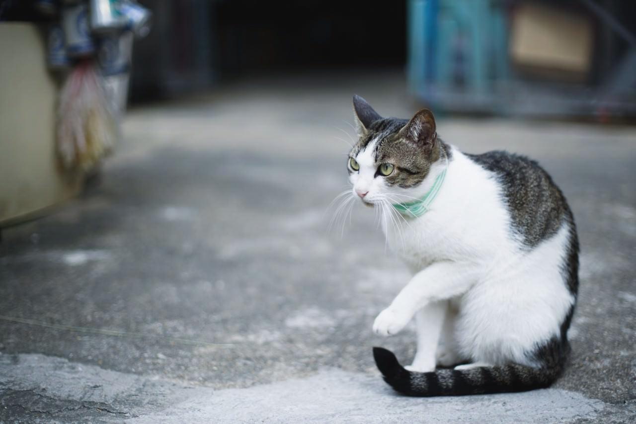 橫街窄巷,小店內外,總不乏貓的身影。(沈敏怡攝)