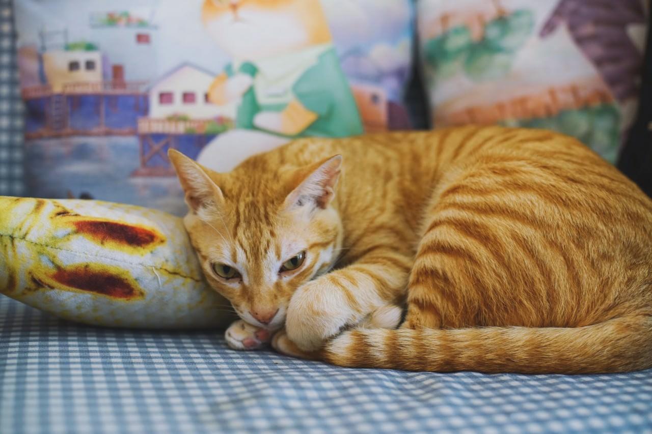 在貓cafe的多位貓店長,大多也是成貓,出不了領養,German便收為自家主子。(沈敏怡攝)