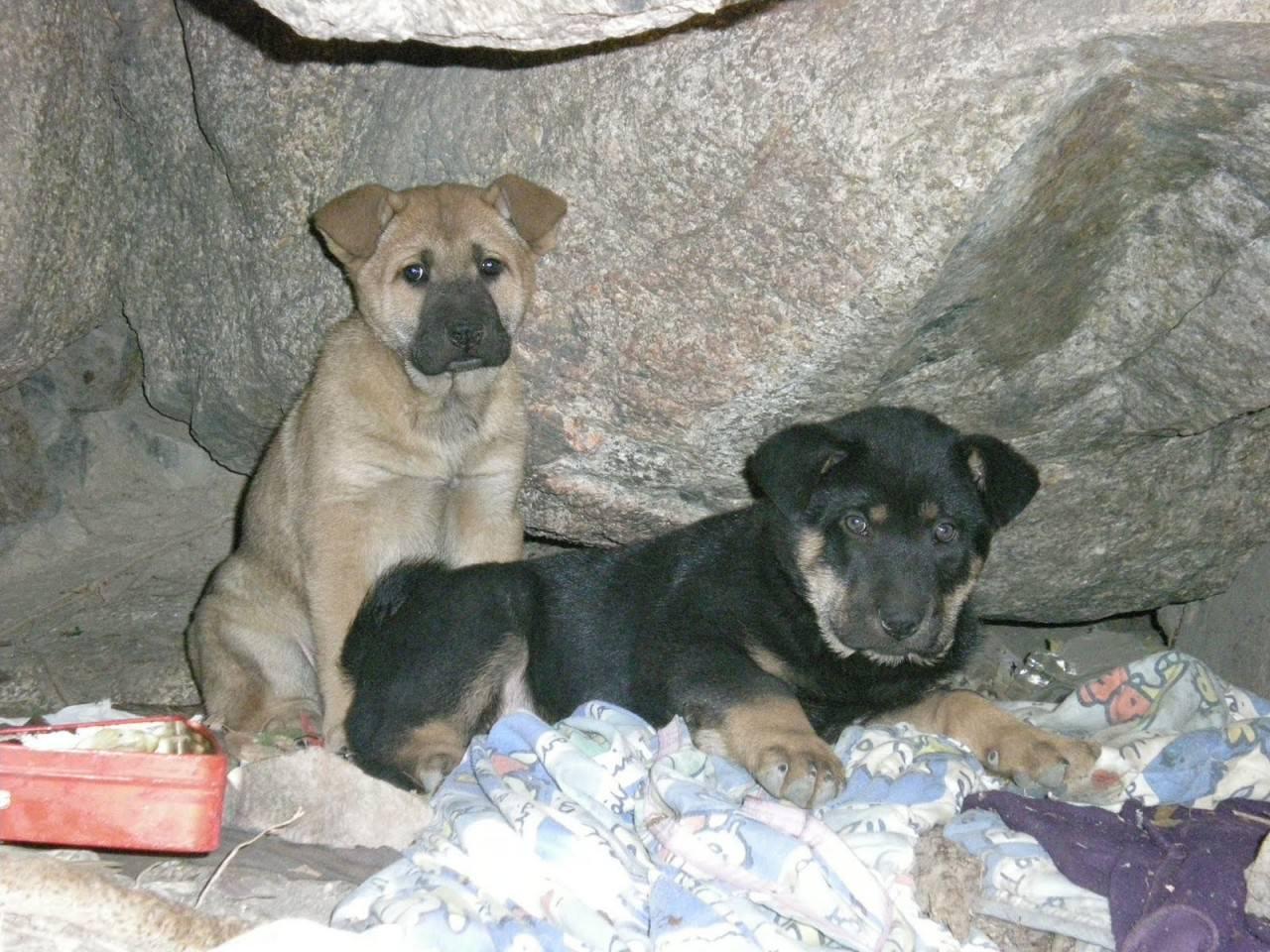 「沙沙豬」曾是獅子山上數百隻這流浪狗之一,當時也曾餓至飢不擇食而吃泥沙。(NPV提供)