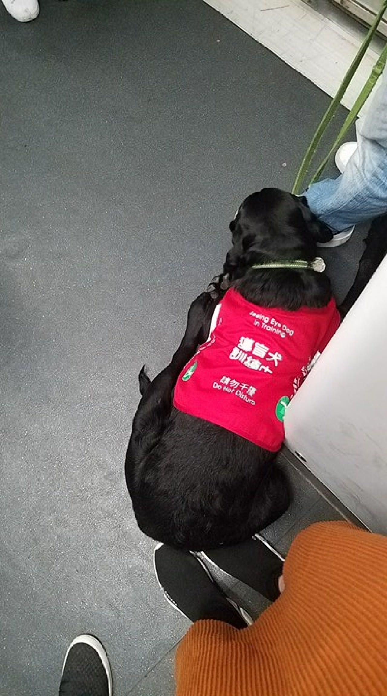 網民許小姐近日乘港鐵時,被一隻訓練中的導盲犬坐在腳上,令她不知所措。(許小姐提供相片)