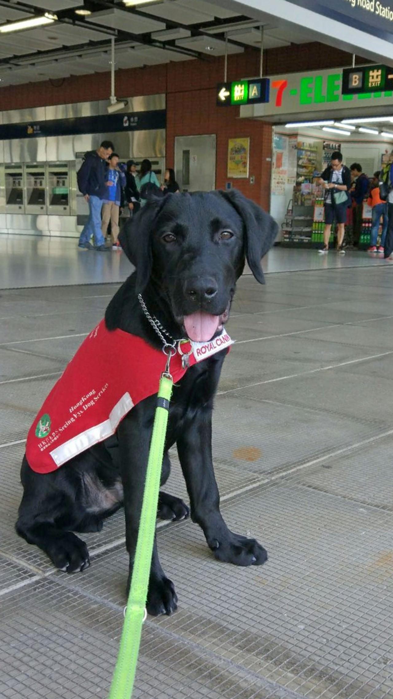 香港導盲犬服務中心的中心經理曾國樹表示導盲犬於地鐵裏受訓是重要一環。(香港導盲犬服務中心網站圖片)